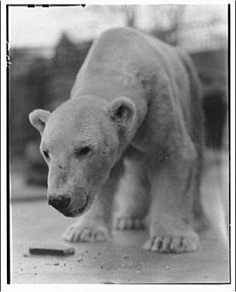 Theodor Horydczak, Polar bear eating, 1920-50