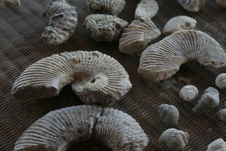 Ammonites, near Fort Worth, Texas