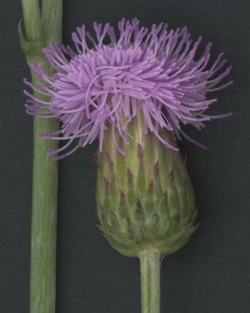 Thistle, close up