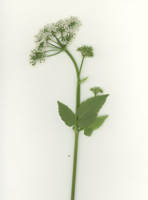 White snakeroot, Brooklyn