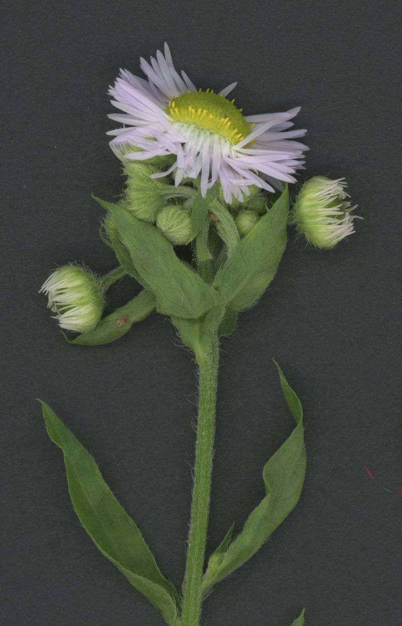 Daisy fleabane, close-up