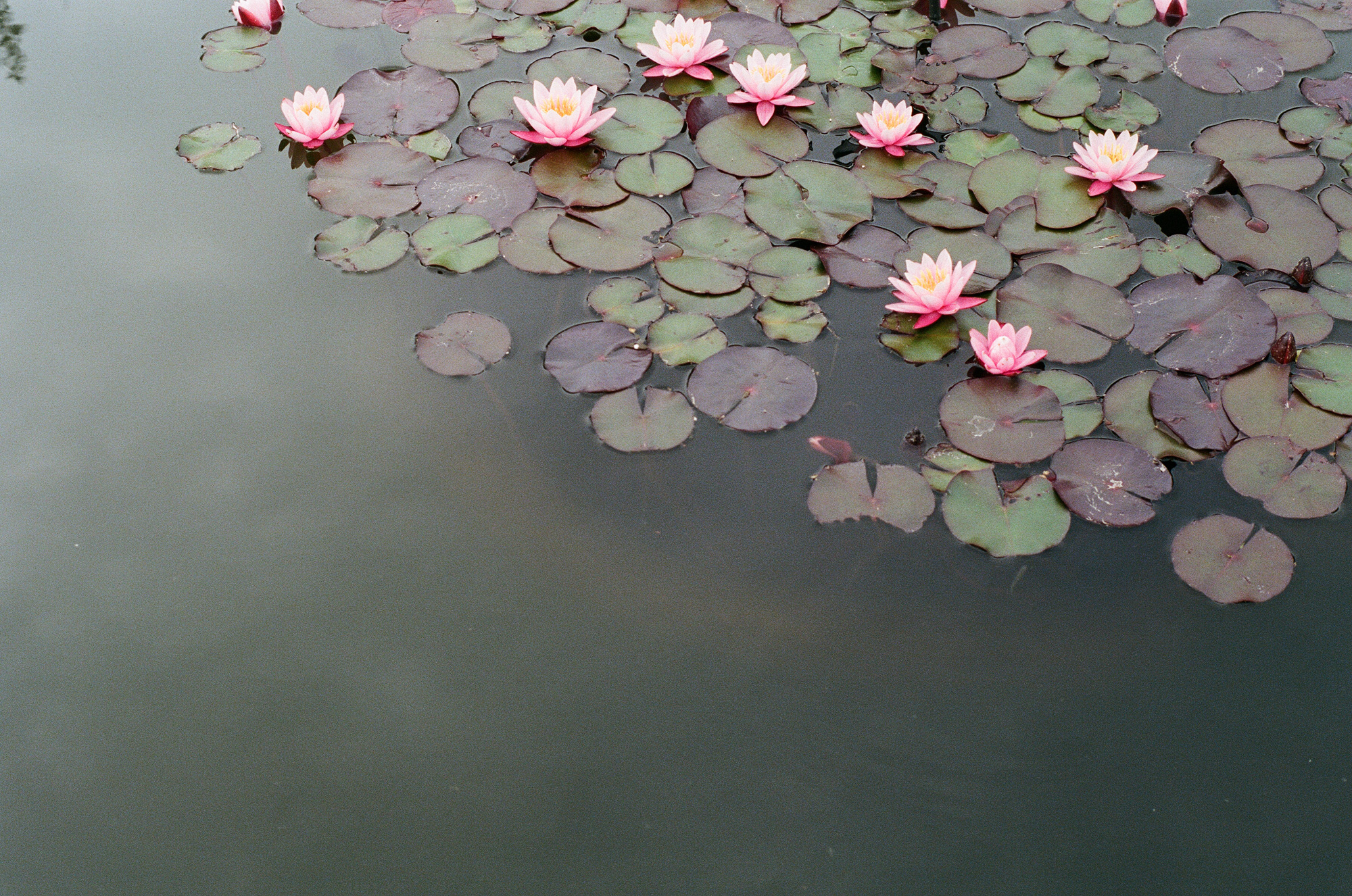 Lotus pool, Brooklyn Botanical Garden