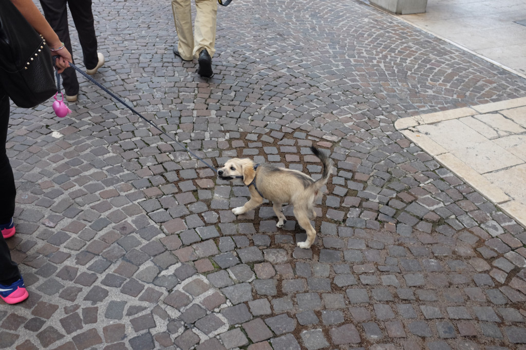 Puppy on the Corso Vittorio Emanuele, Pordenone