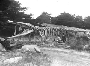 Harry V. Givens, photographer, 'Whale Skeleton, Point Lobos, California,' American Environmental Photographs Collection (1891-1936), AEP-CAS206, Department of Special Collections, University of Chicago Library