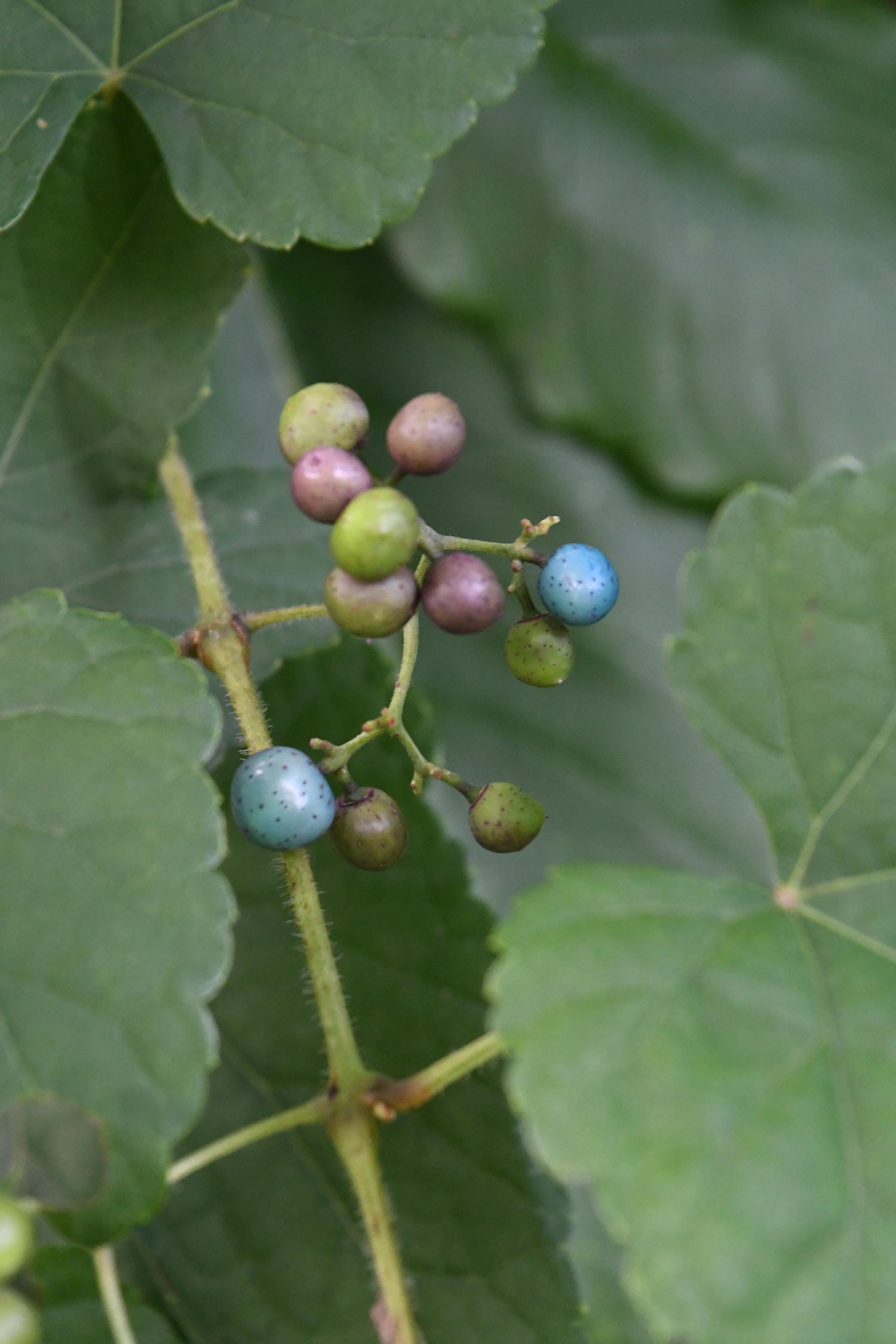 Blue fruit, Prospect Park