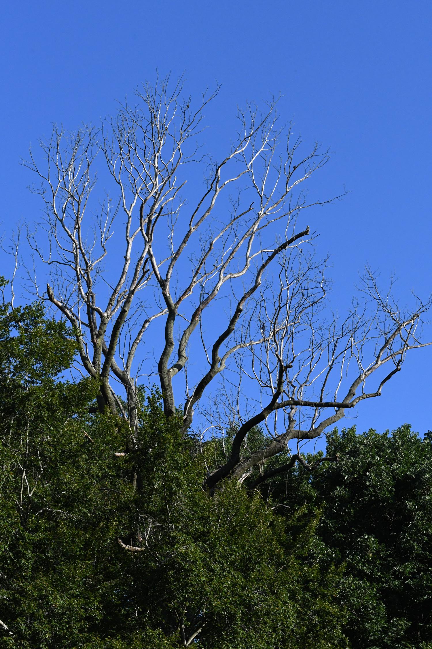 Dead tree against sky, Prospect Park