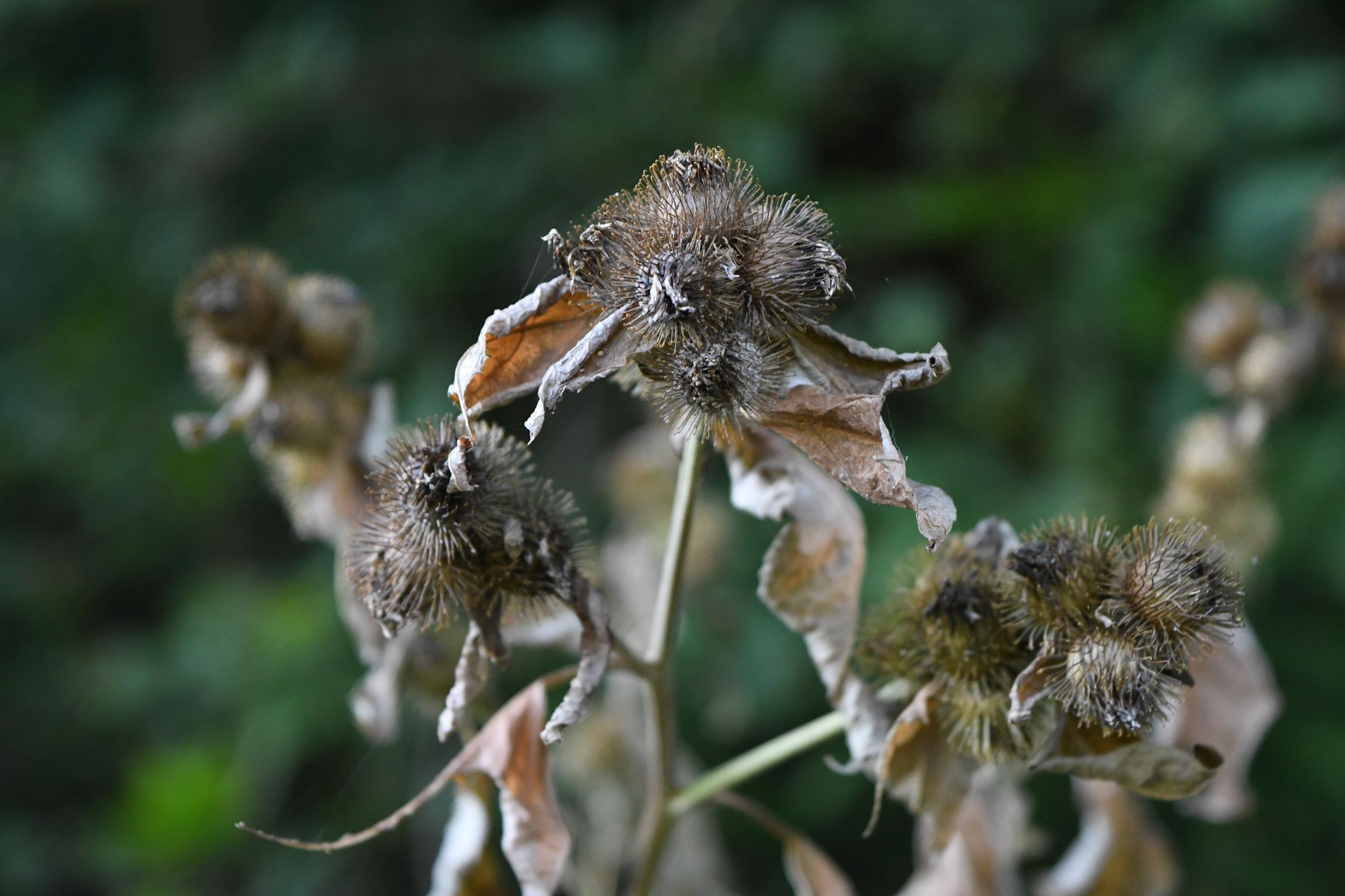 Dry thistle, Prospect Park