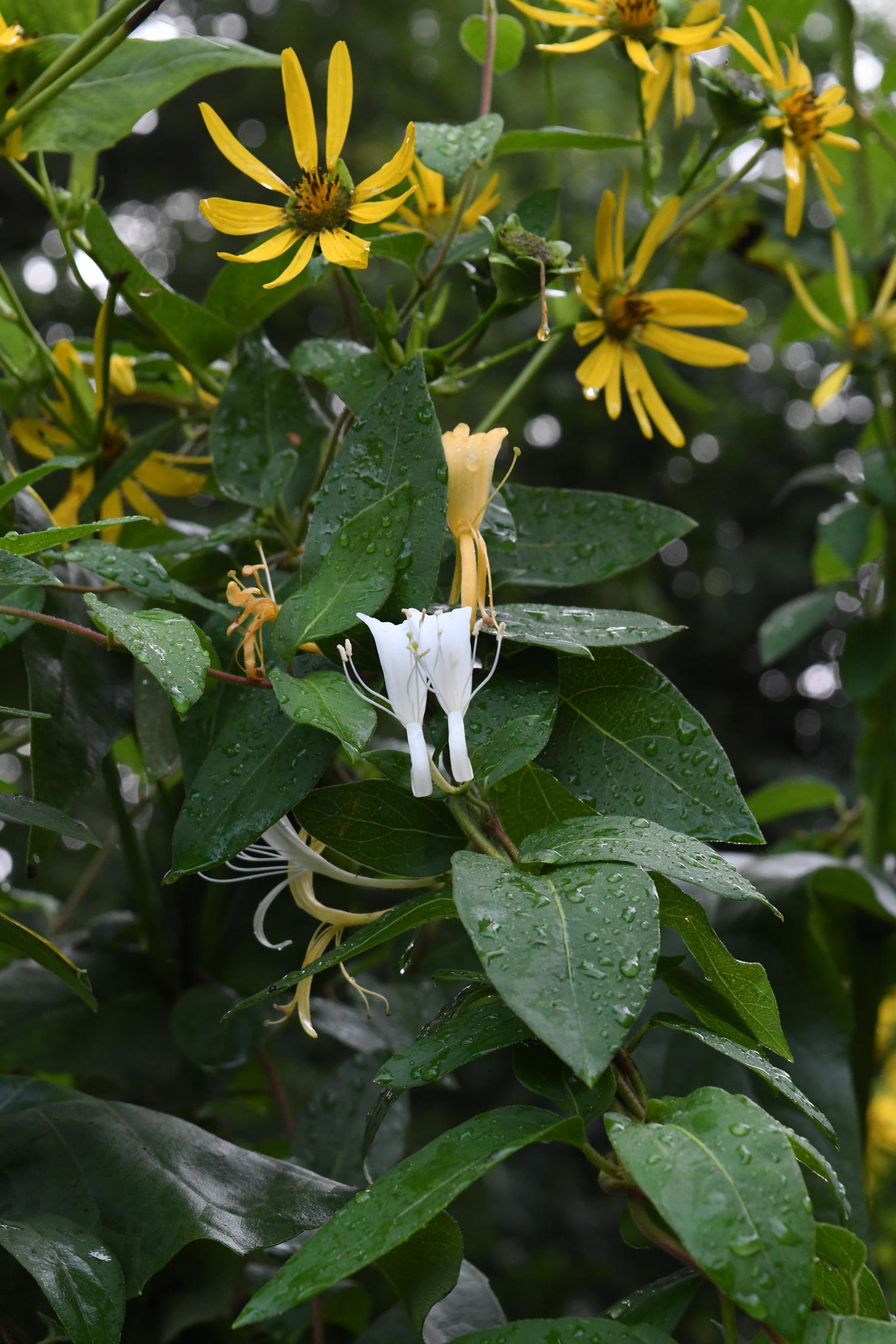 Rudbeckia and honeysuckle