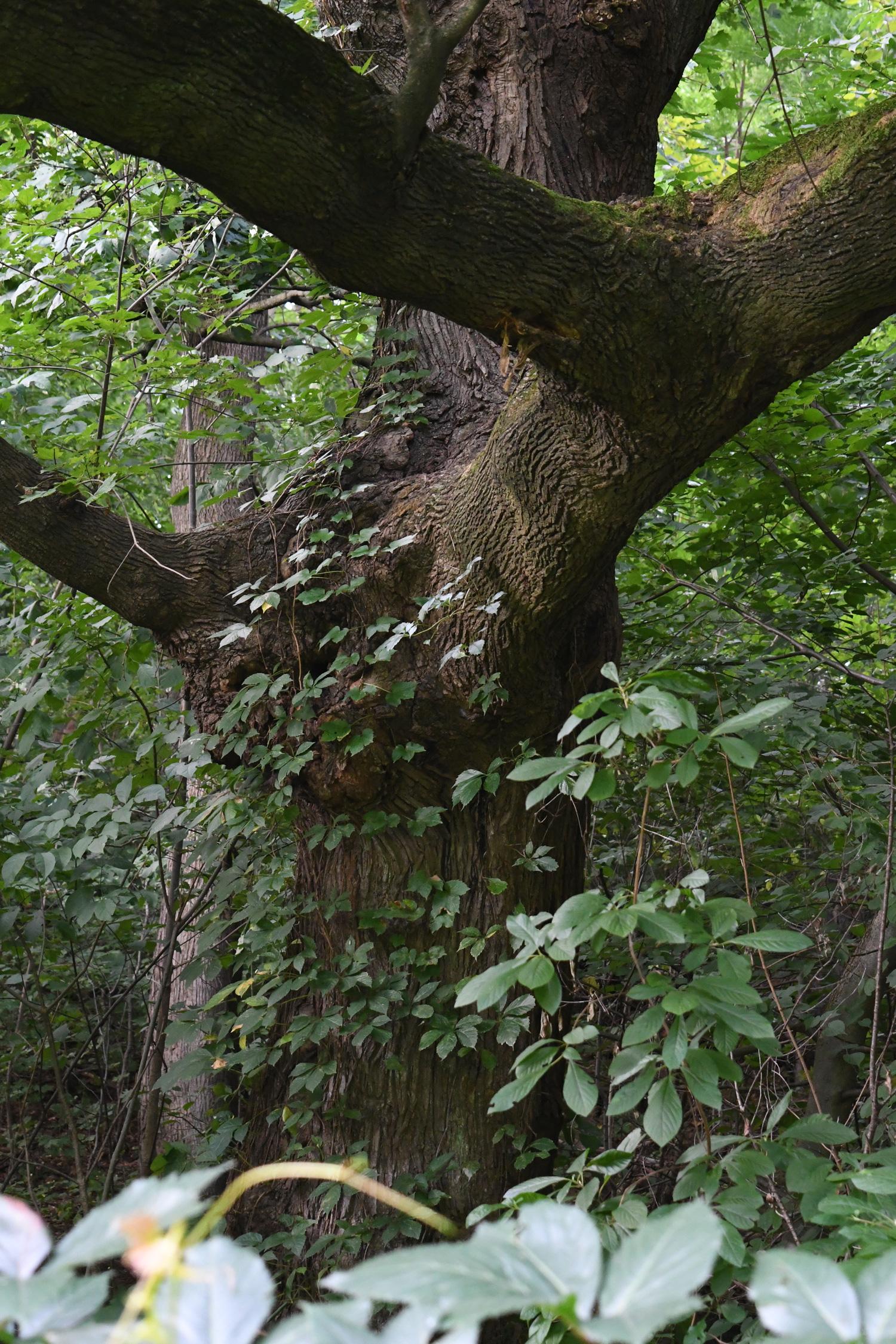 Ivy on trunk, Prospect Park