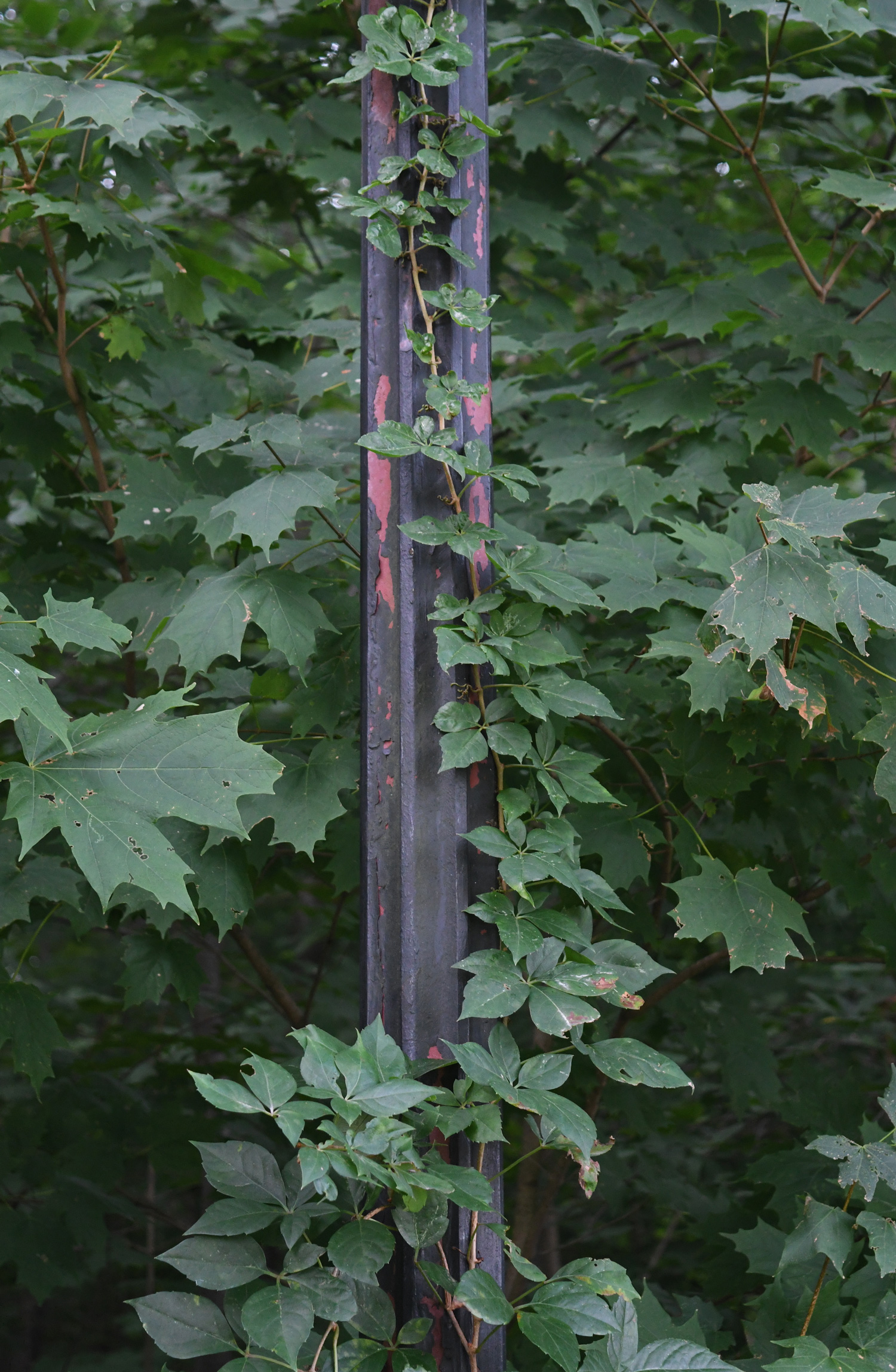 Ivy on lamppost, Prospect Park