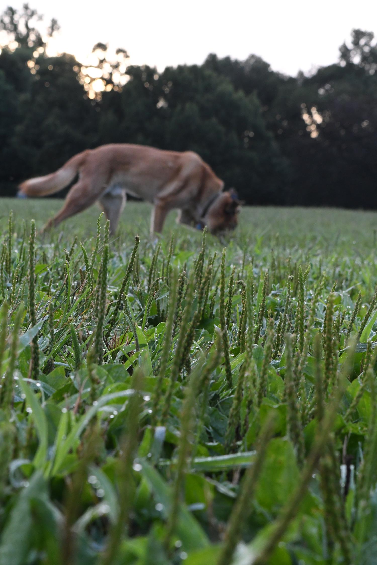 Ribwort plantain avec dog, Prospect Park