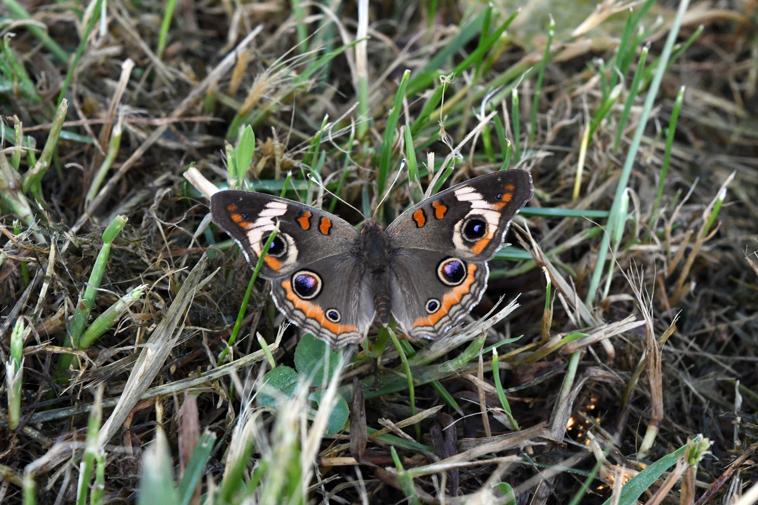 Common buckeye, Prospect Park