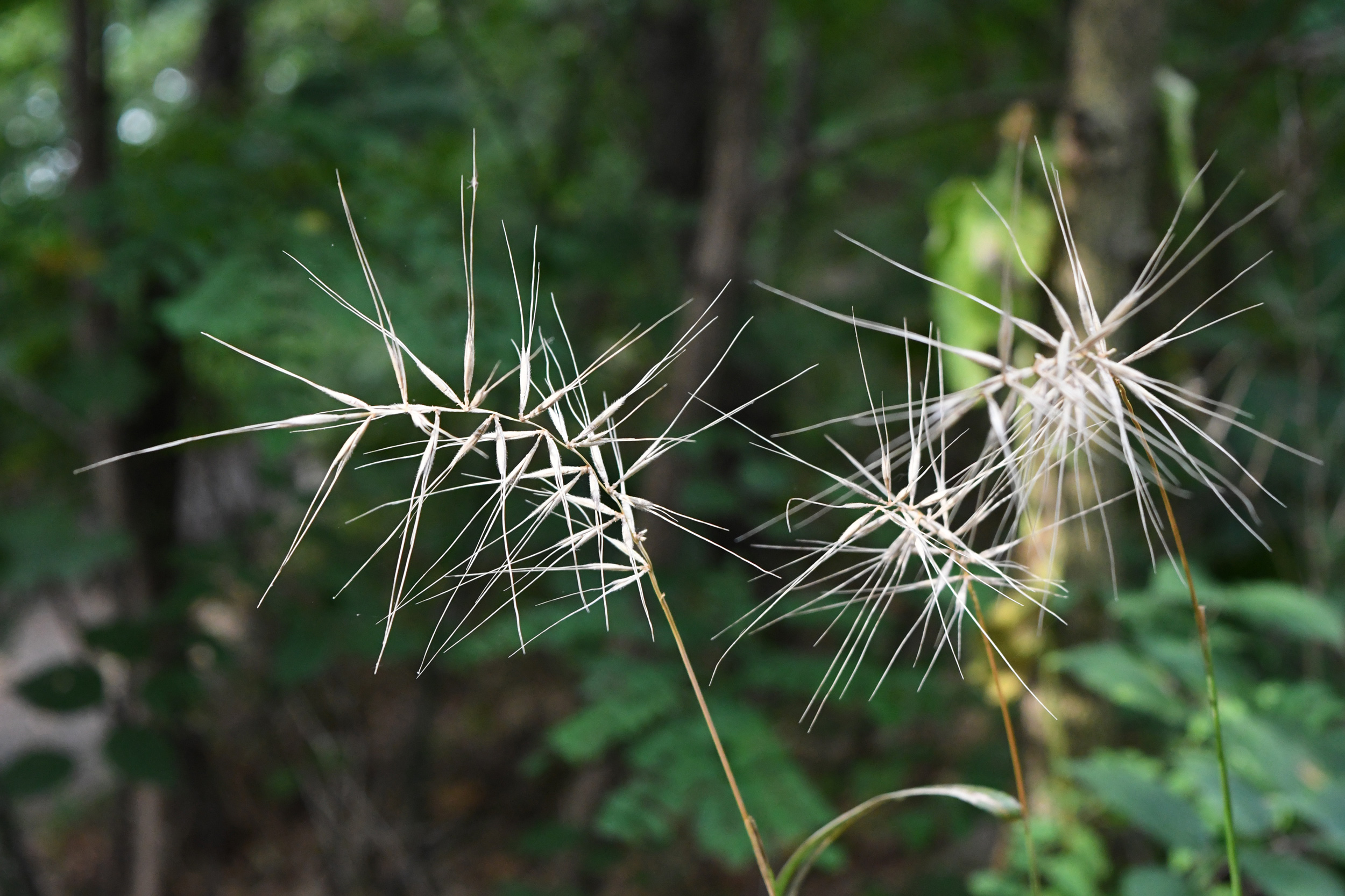 Dry grass seeds, Prospect Park
