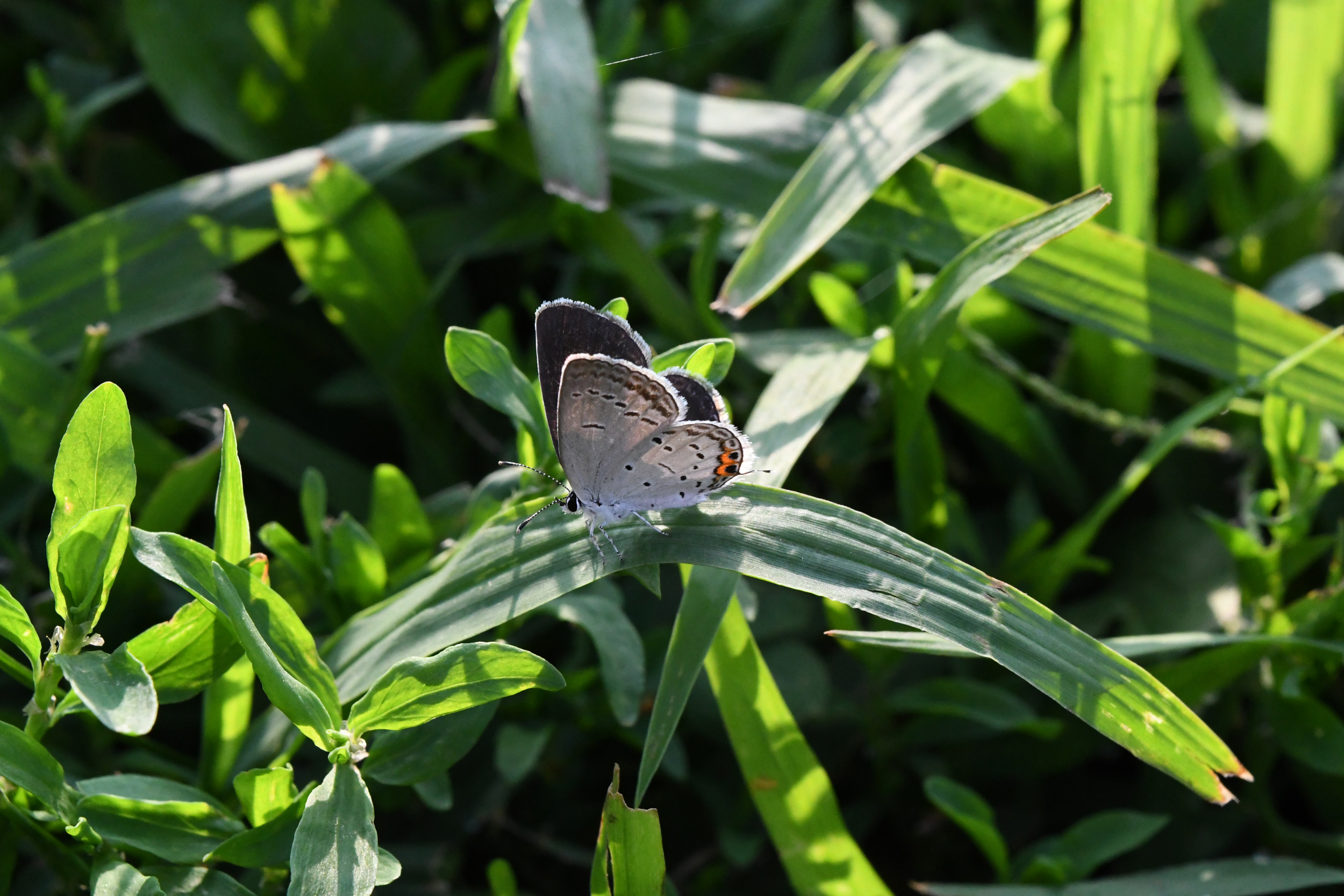 Eastern tailed blue, female, Prospect Park
