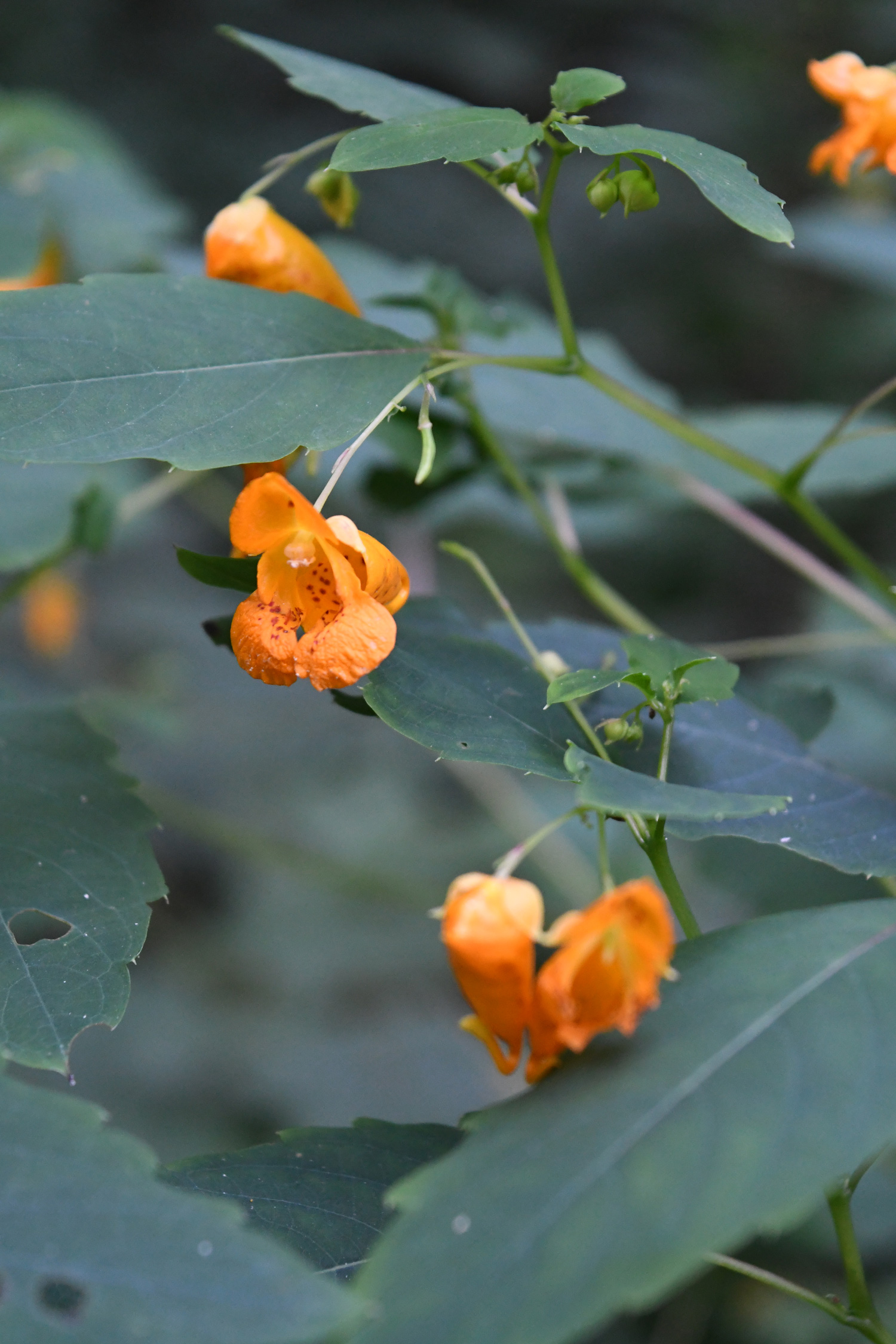 Orange jewelweed / spotted touch-me-not, Prospect Park