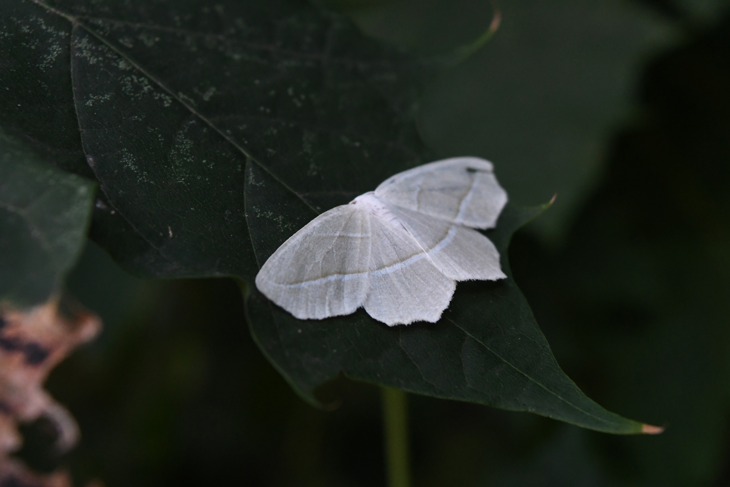 Pale beauty moth, Prospect Park