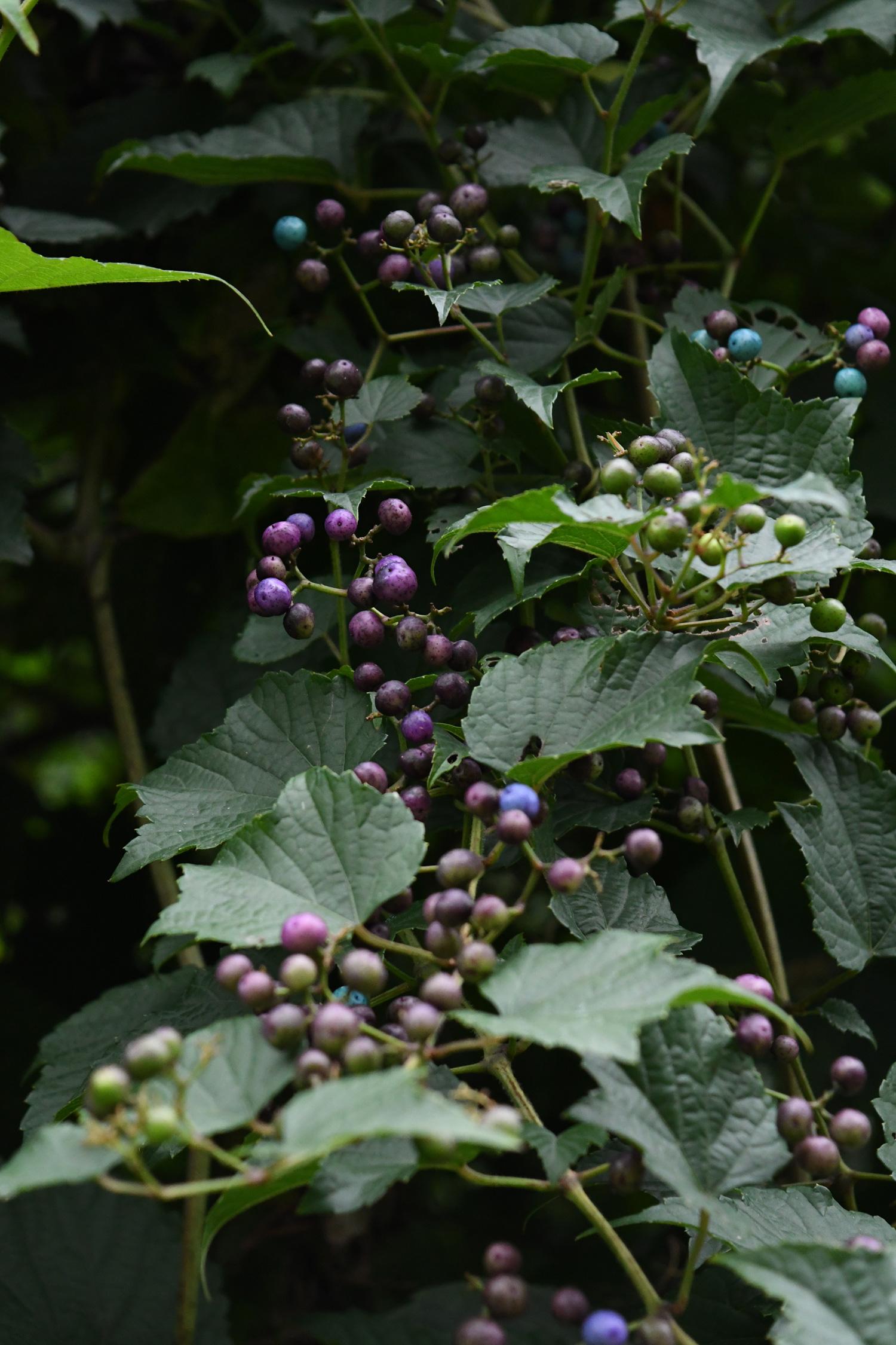 Porcelain vine berries, Prospect Park