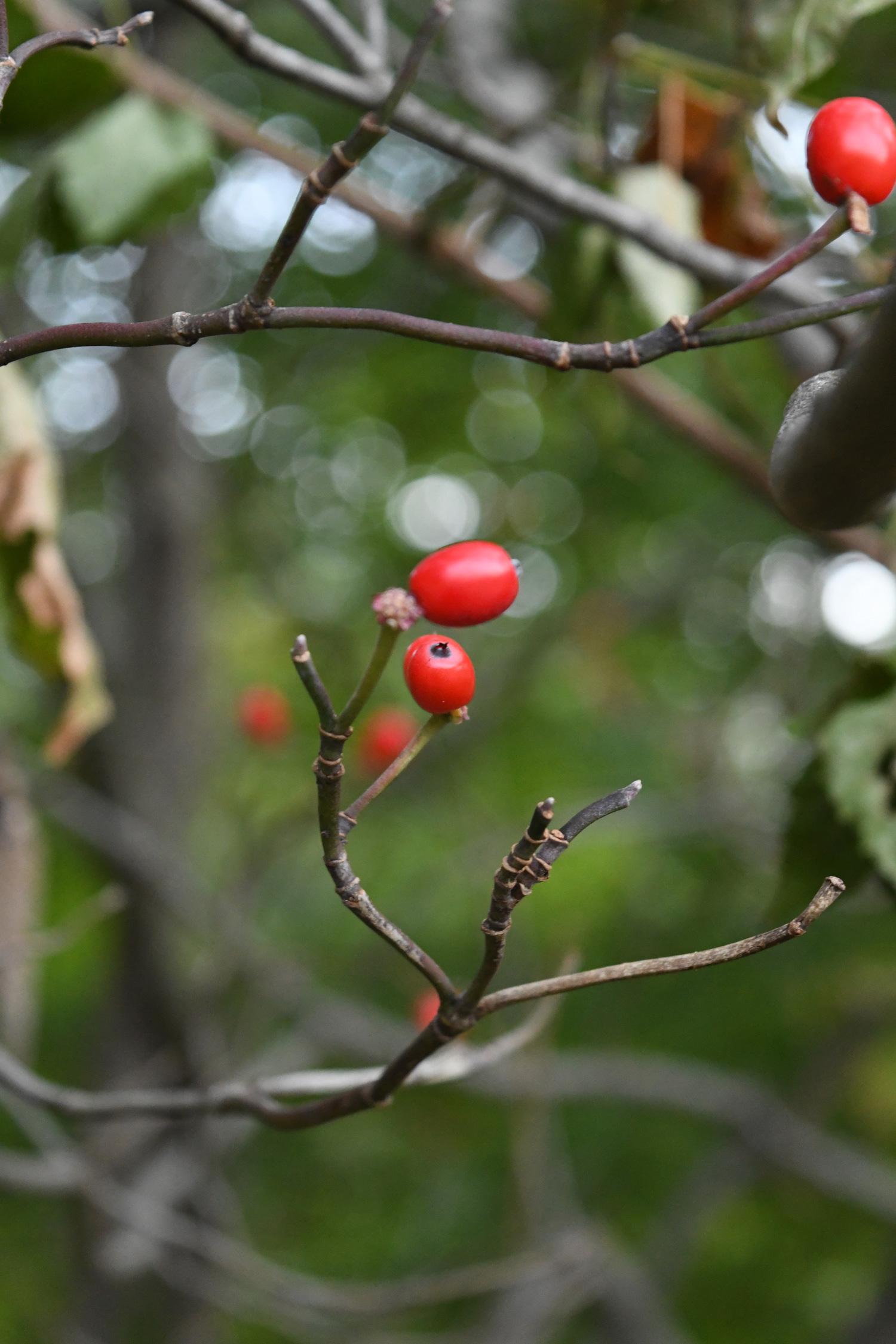 Dogwood berries, Prospect Park