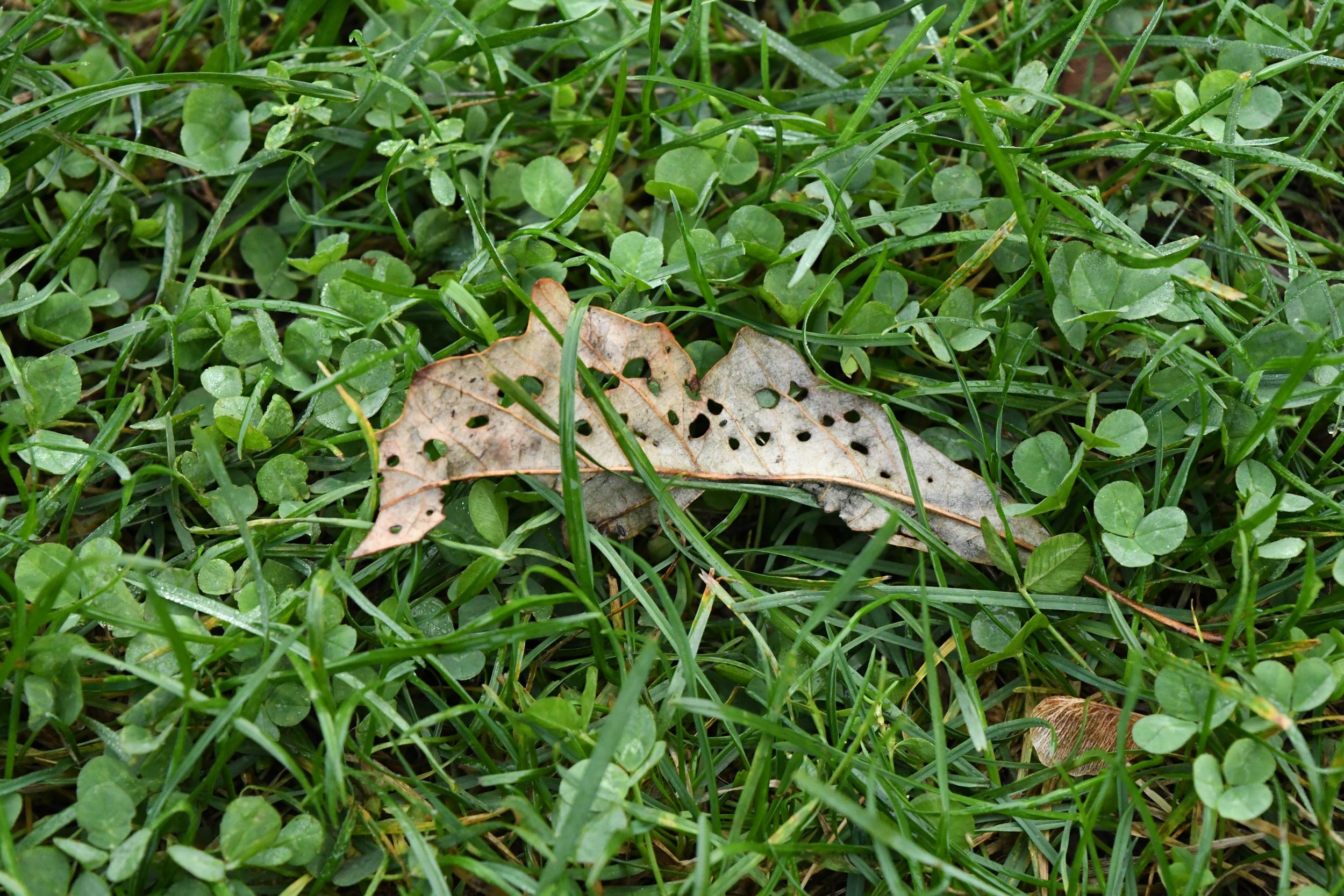 Eaten leaf, Prospect Park