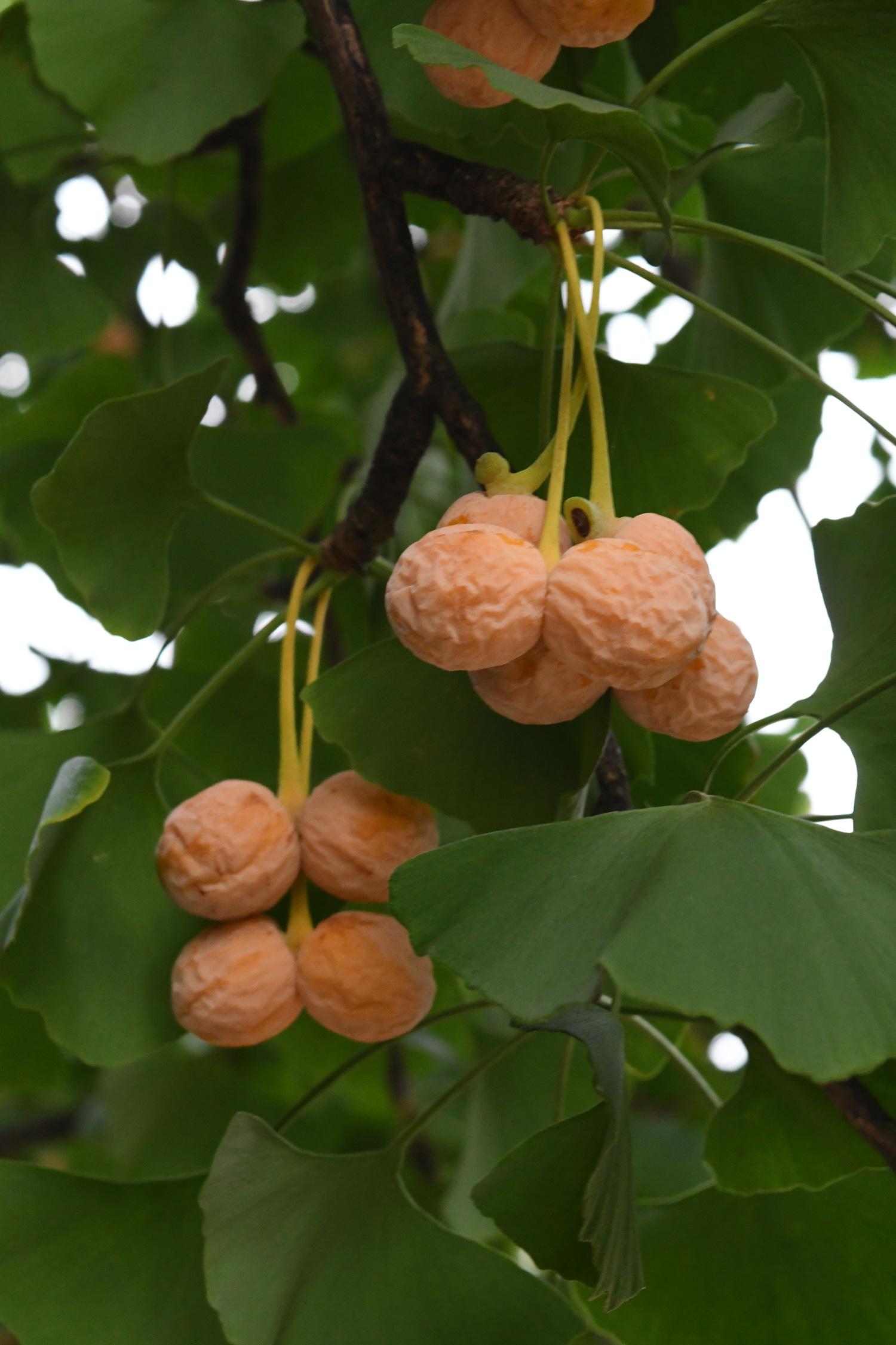 Gingko fruit, Prospect Park
