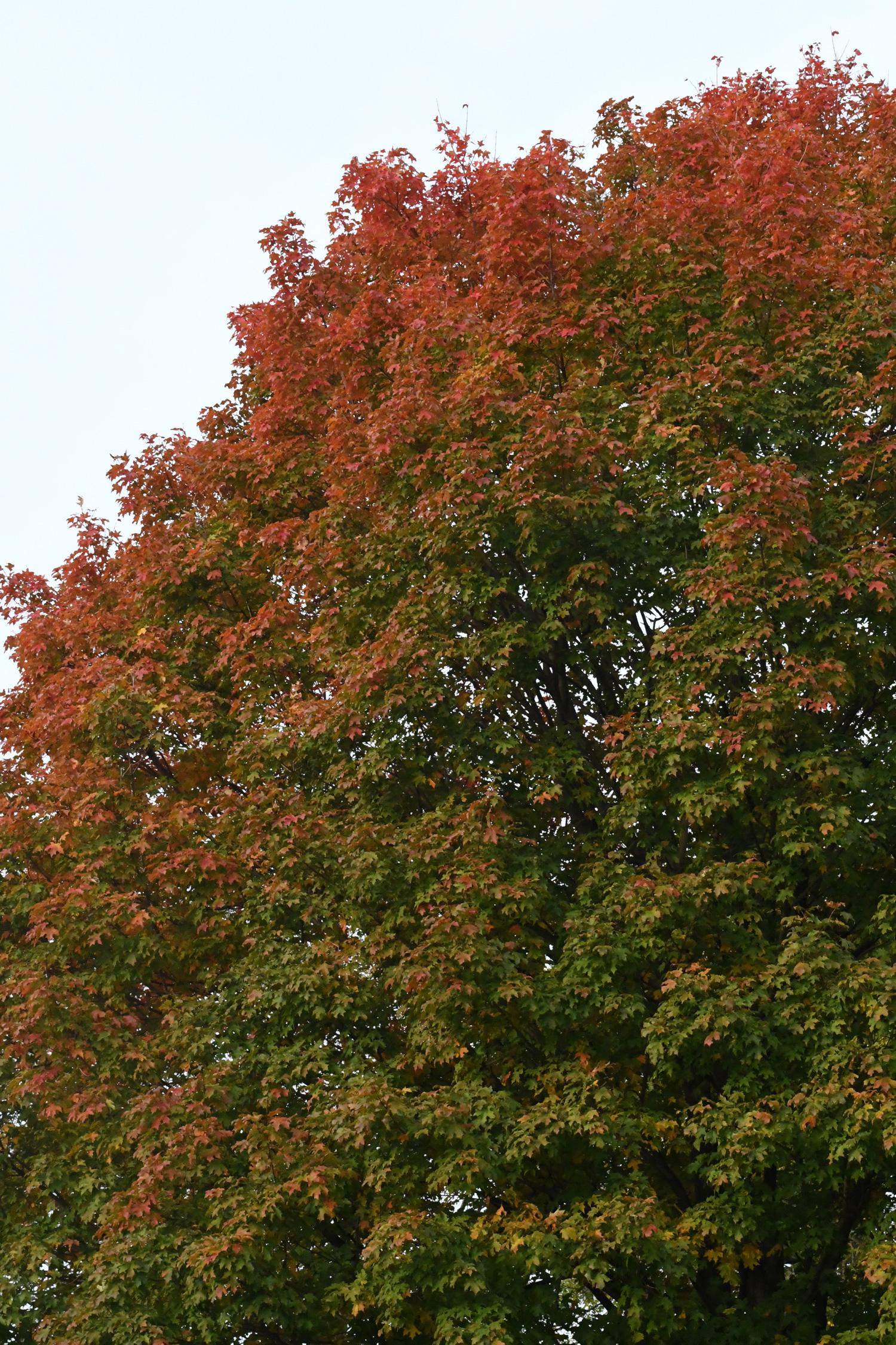 Maple tree, Prospect Park