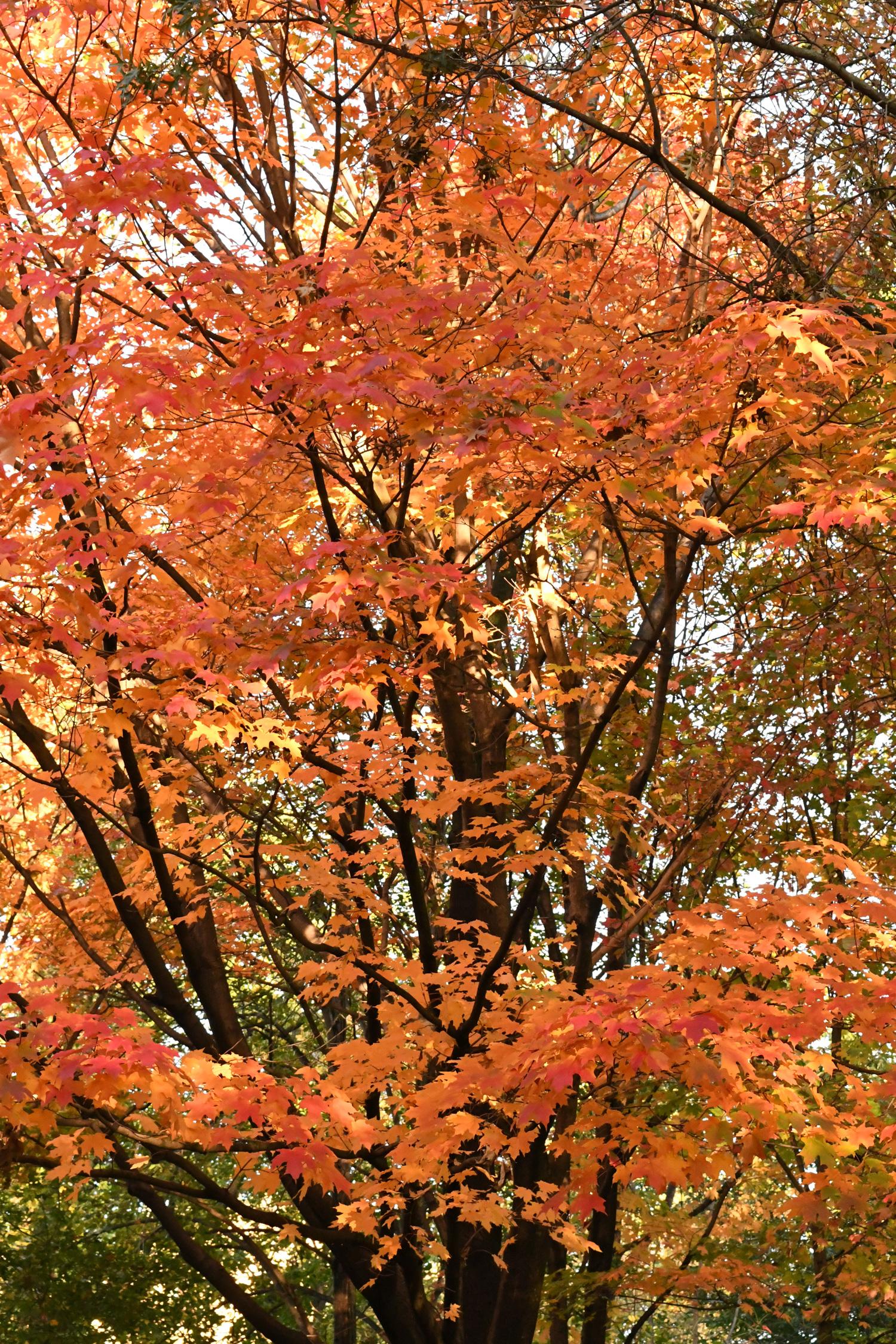 Maple, Prospect Park