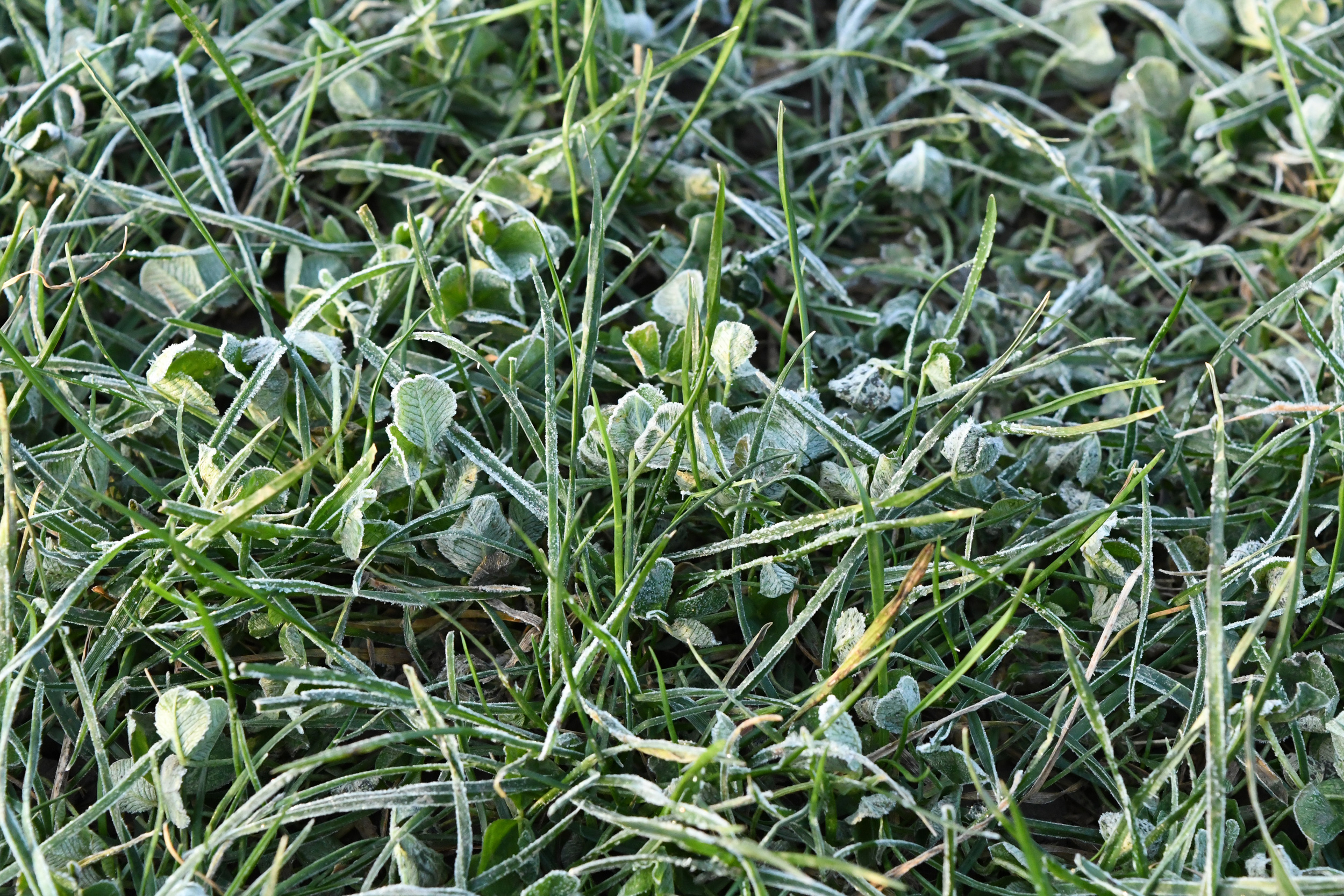 Clover under frost, Prospect Park