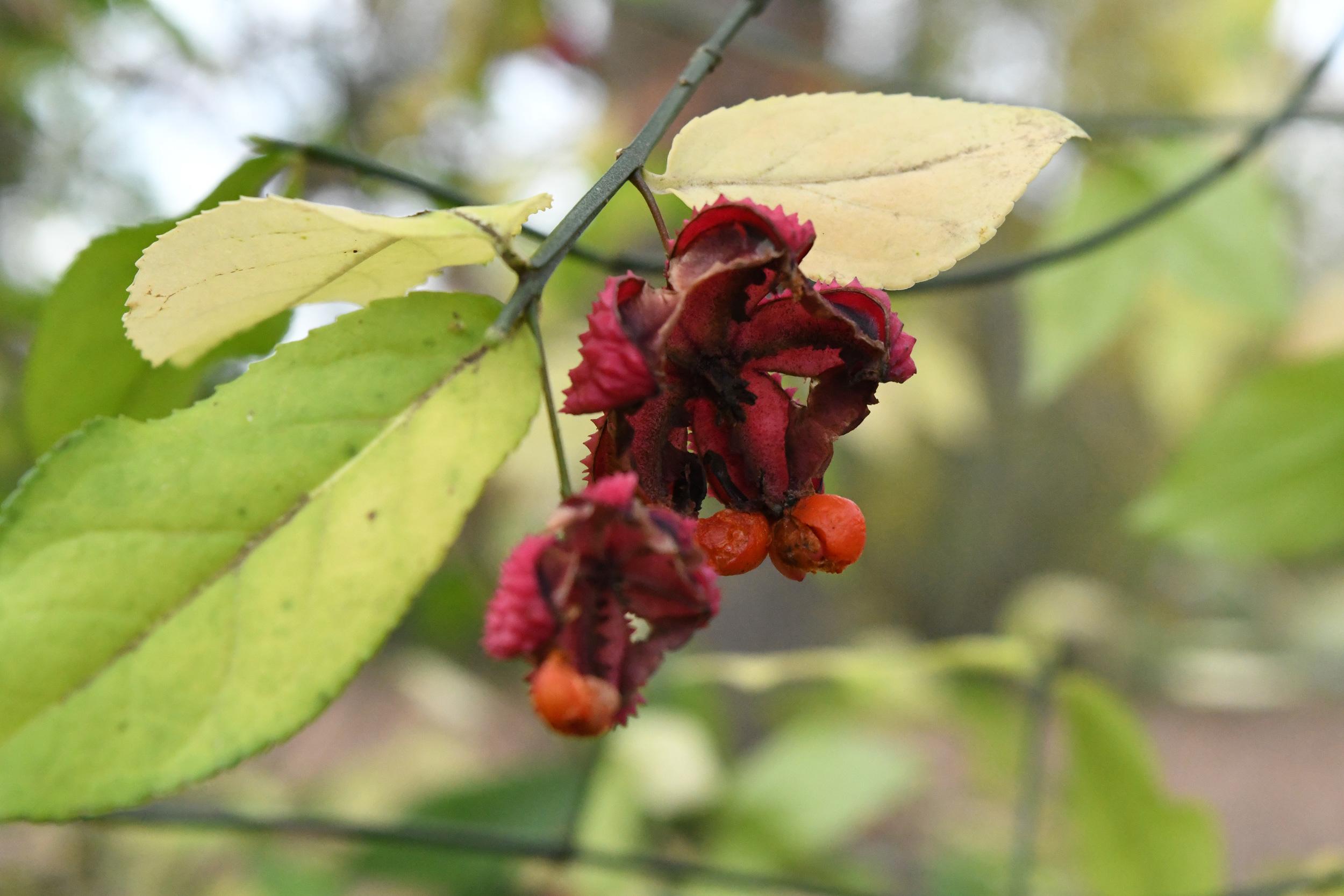 Korean spindleberry, Prospect Park