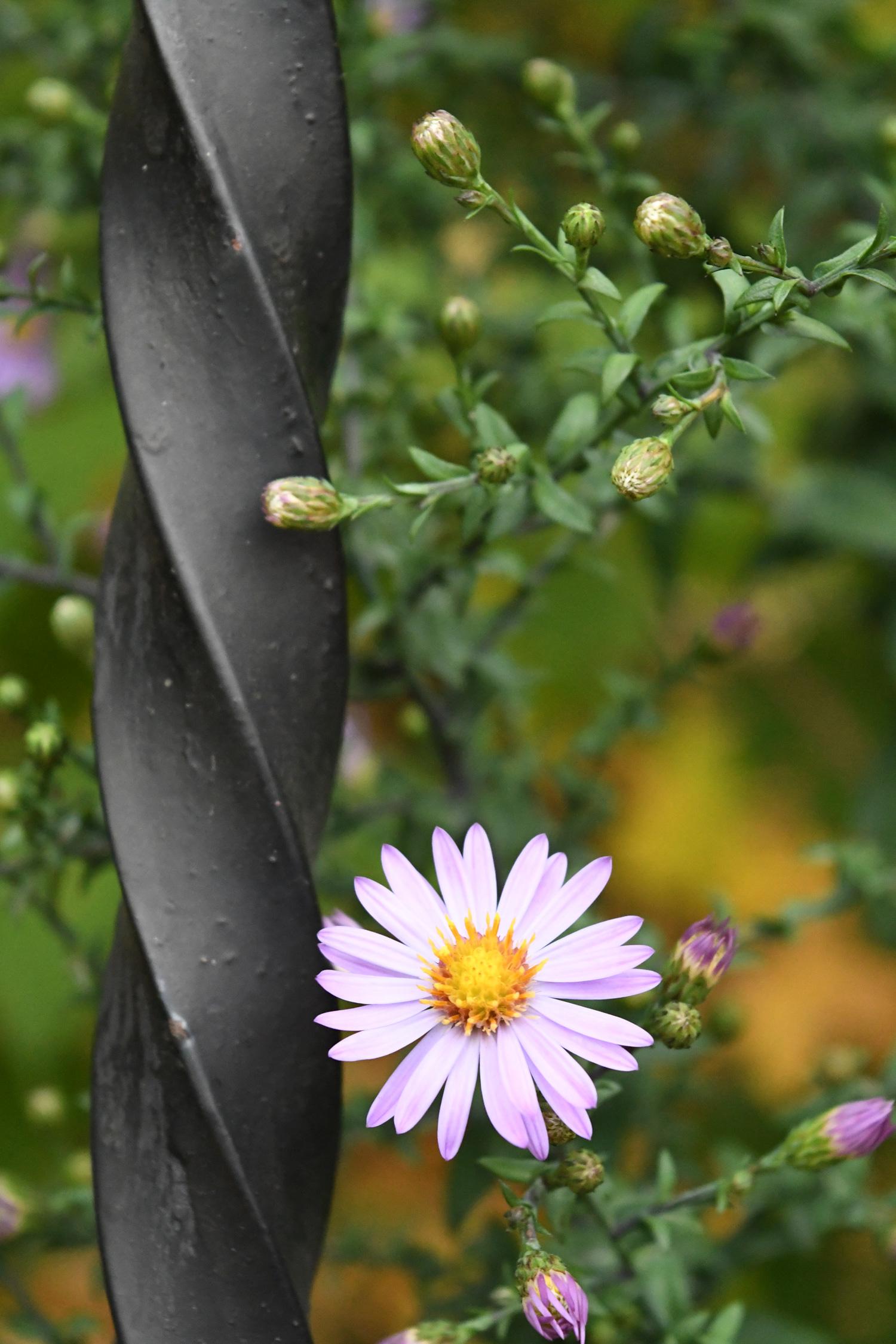 Late purple aster, Prospect Park