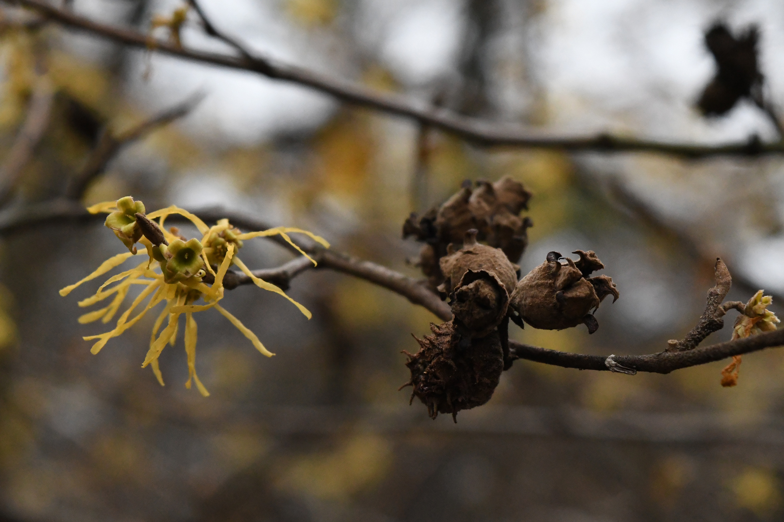 Witch hazel, Prospect Park
