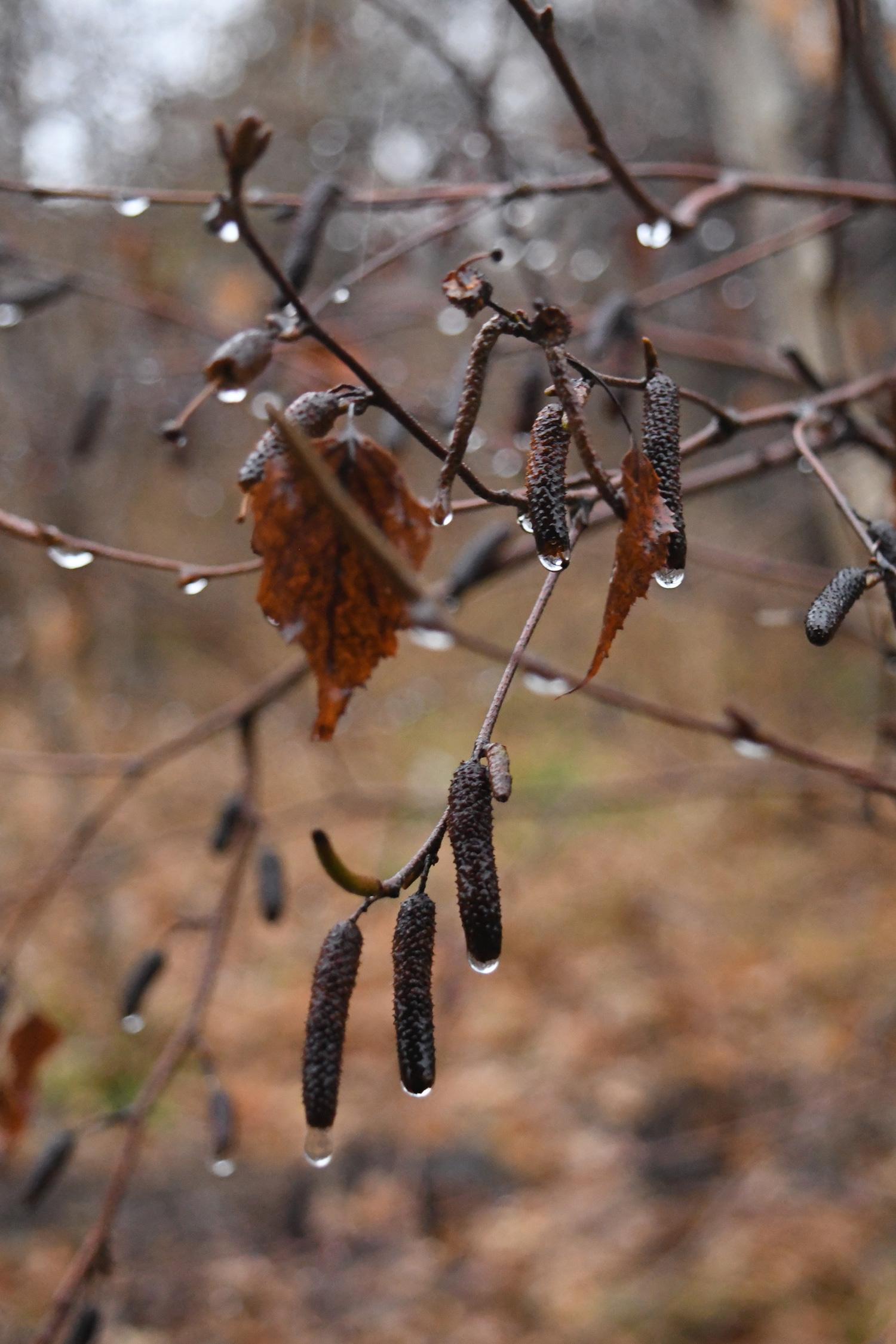 Gray birch catkins in rain, Prospect Park