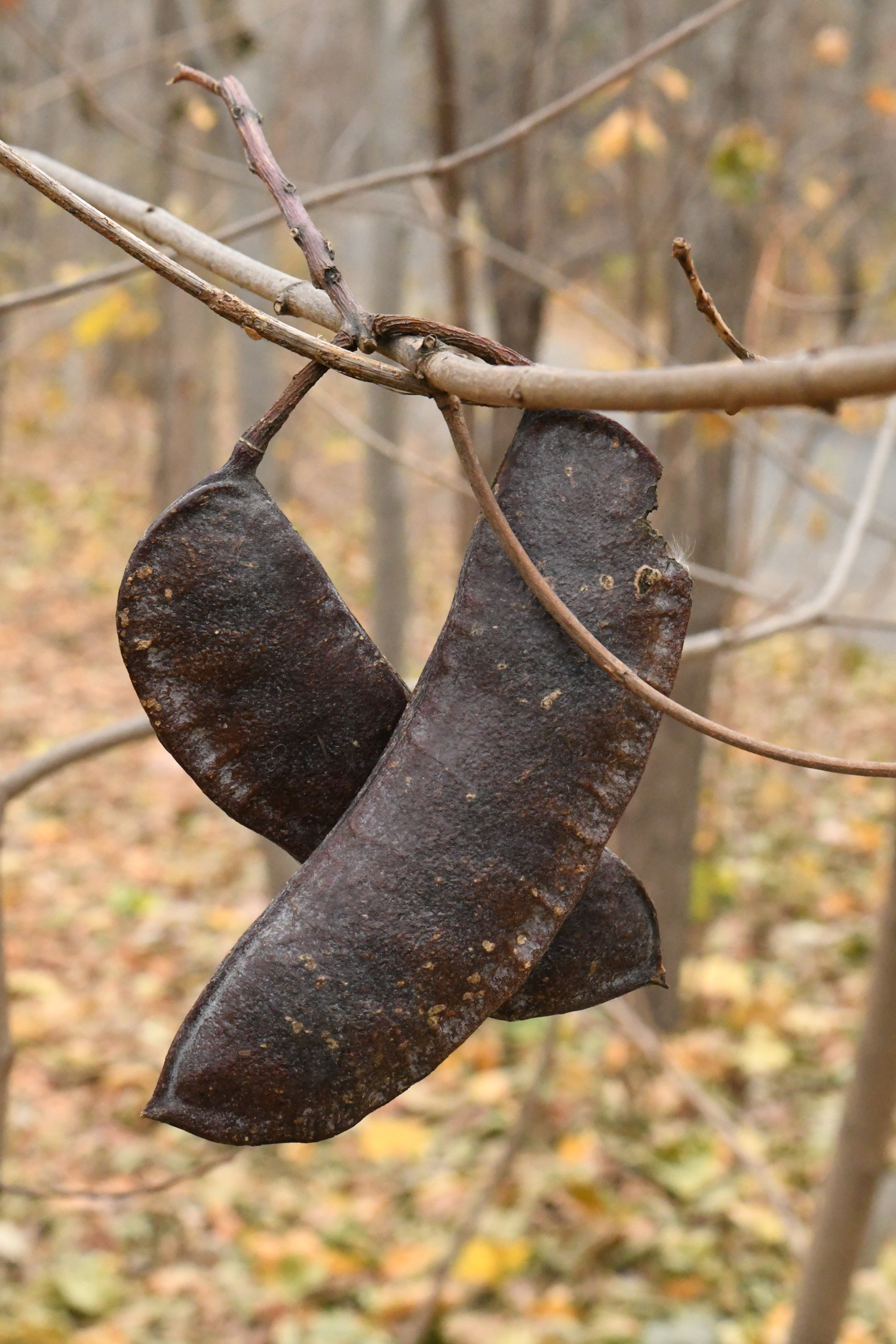 Kentucky coffeetree pods, Prospect Park