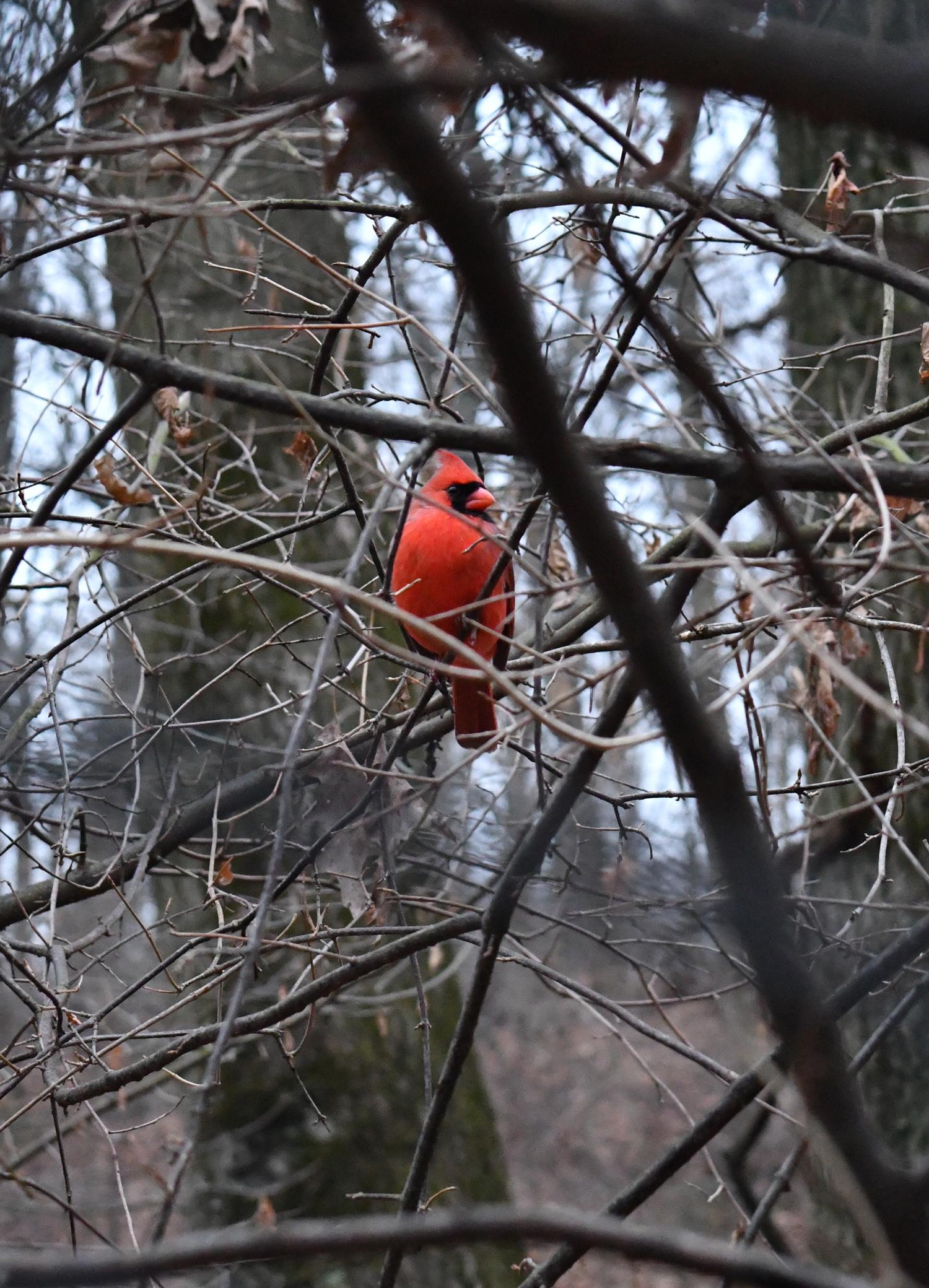 Cardinal, Prospect Park