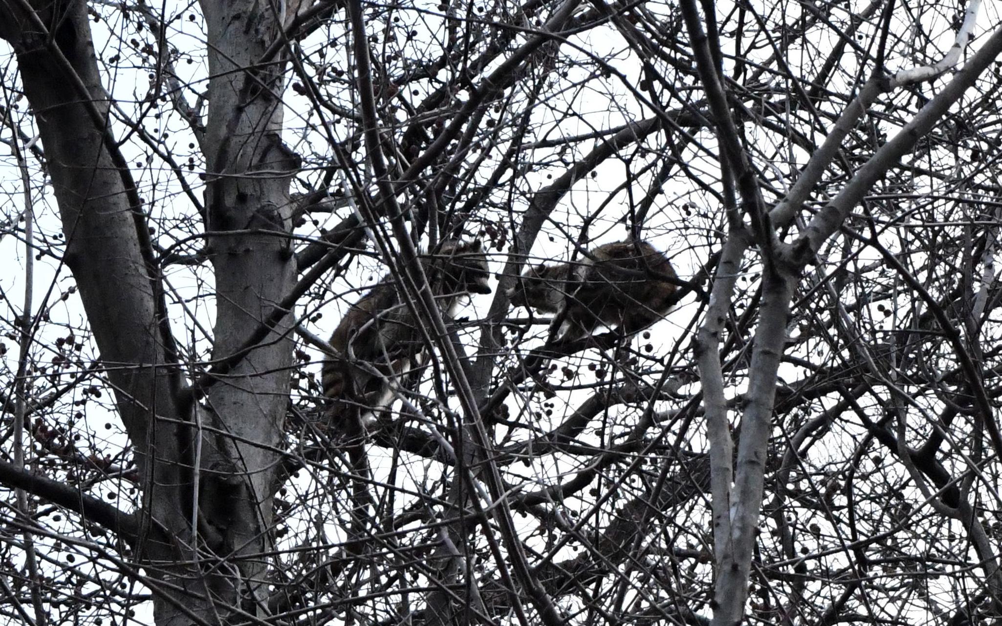 Raccoons in negotiation, Prospect Park