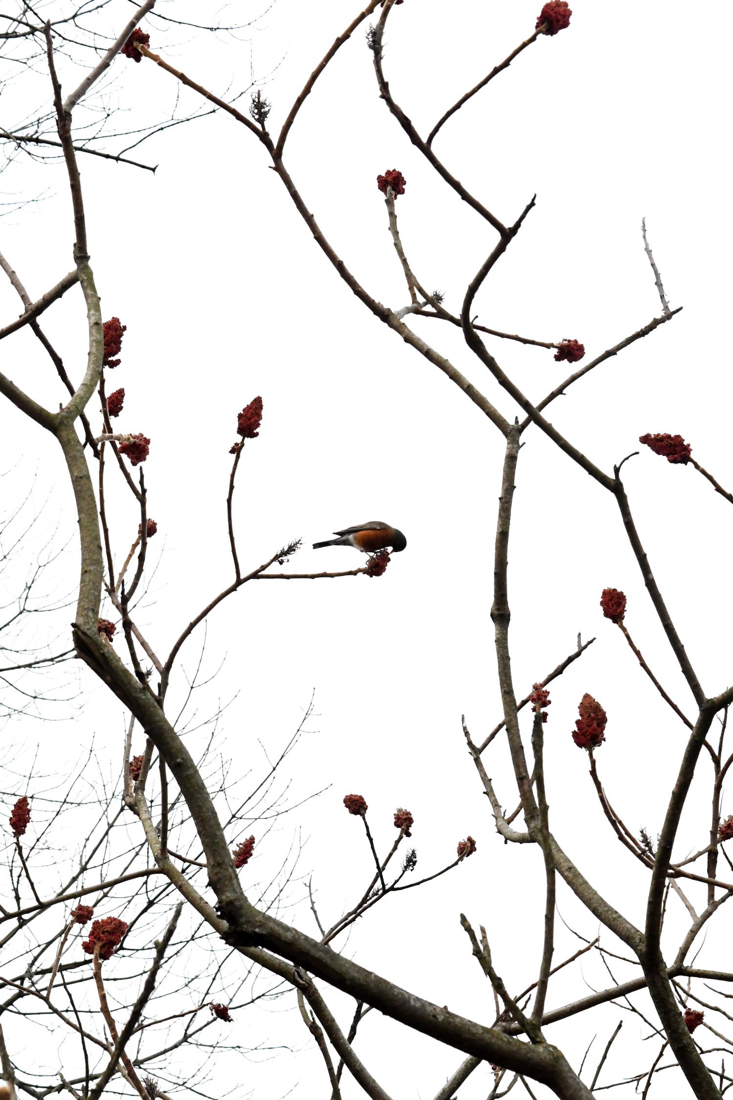 Robin in sumac, Prospect Park