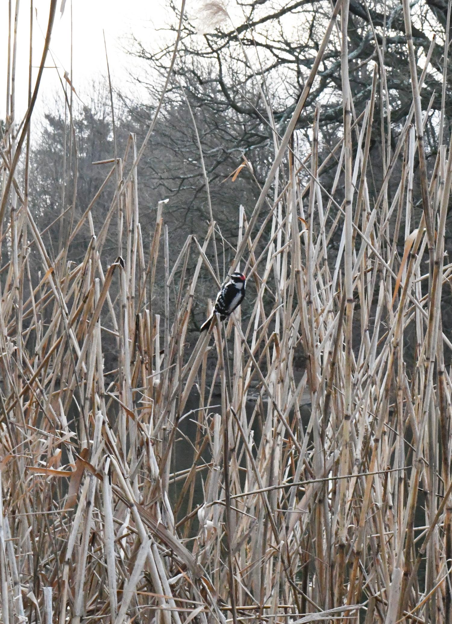 Woodpecker, Prospect Park