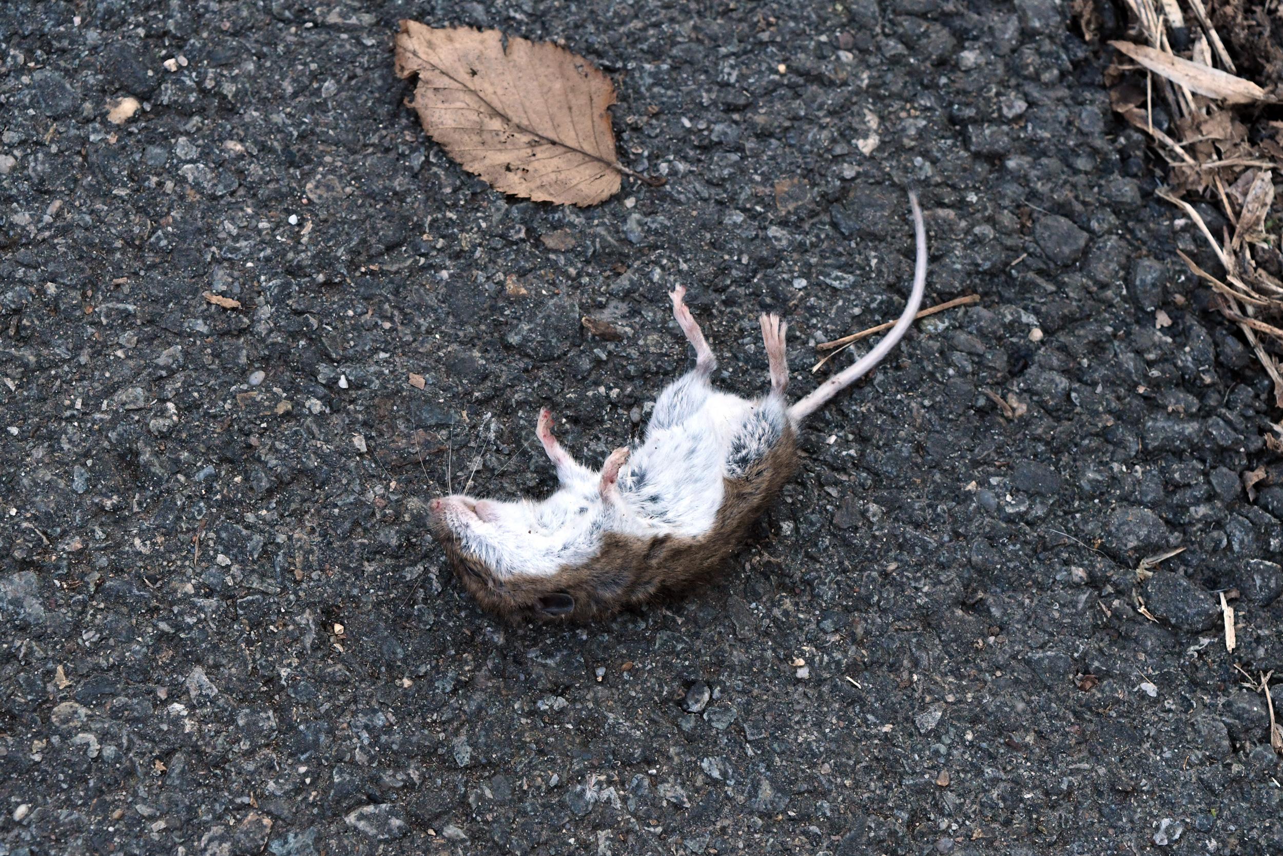 Dead mouse, Prospect Park