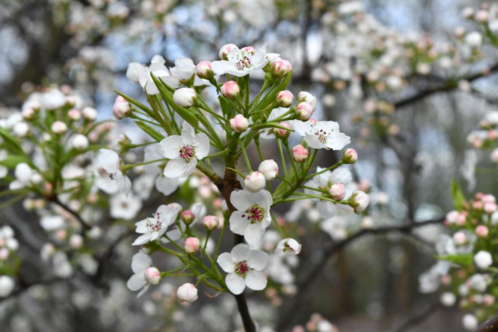 Apple blossoms, Prospect Park
