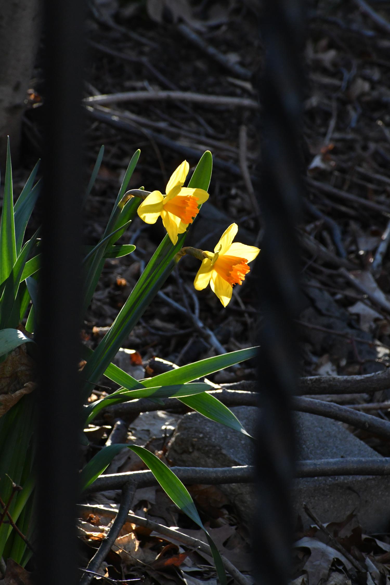 Daffodils, Prospect Park