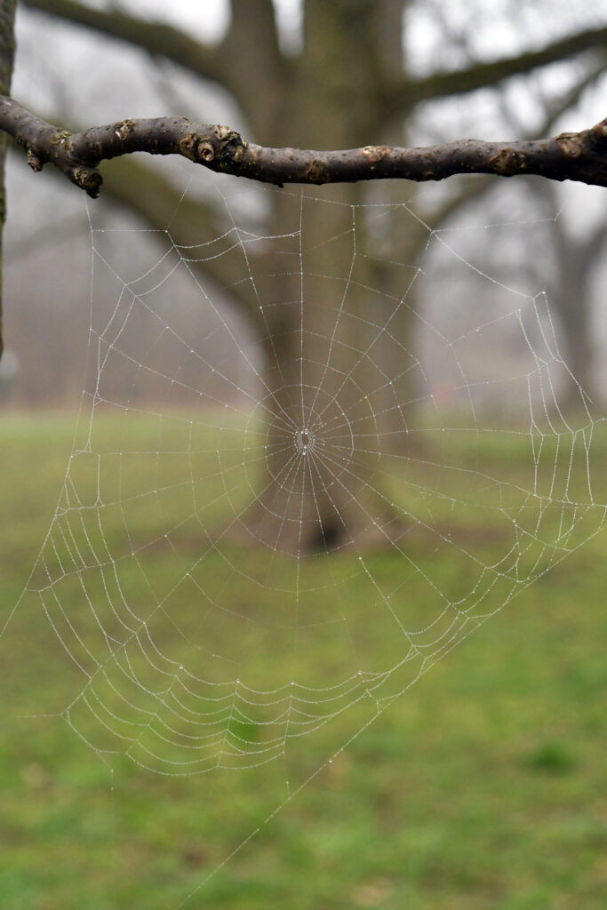 Spider web in dew, Prospect Park