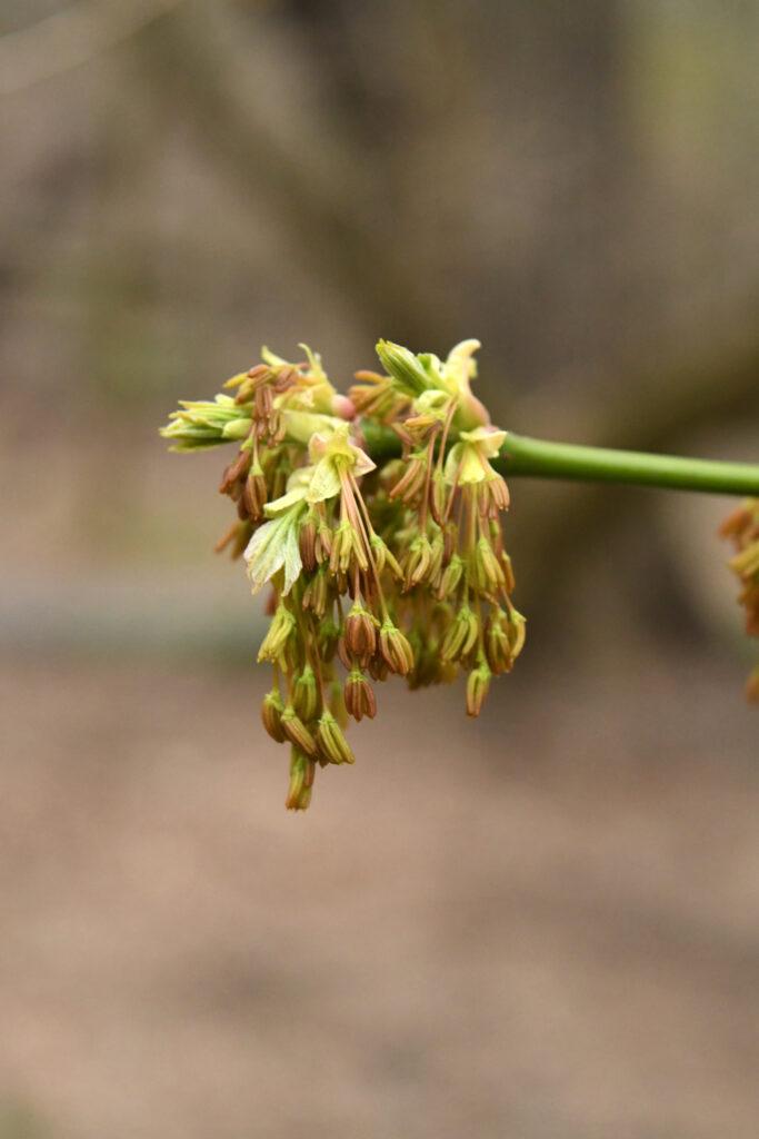 Boxelder maple flowers, Prospect Park