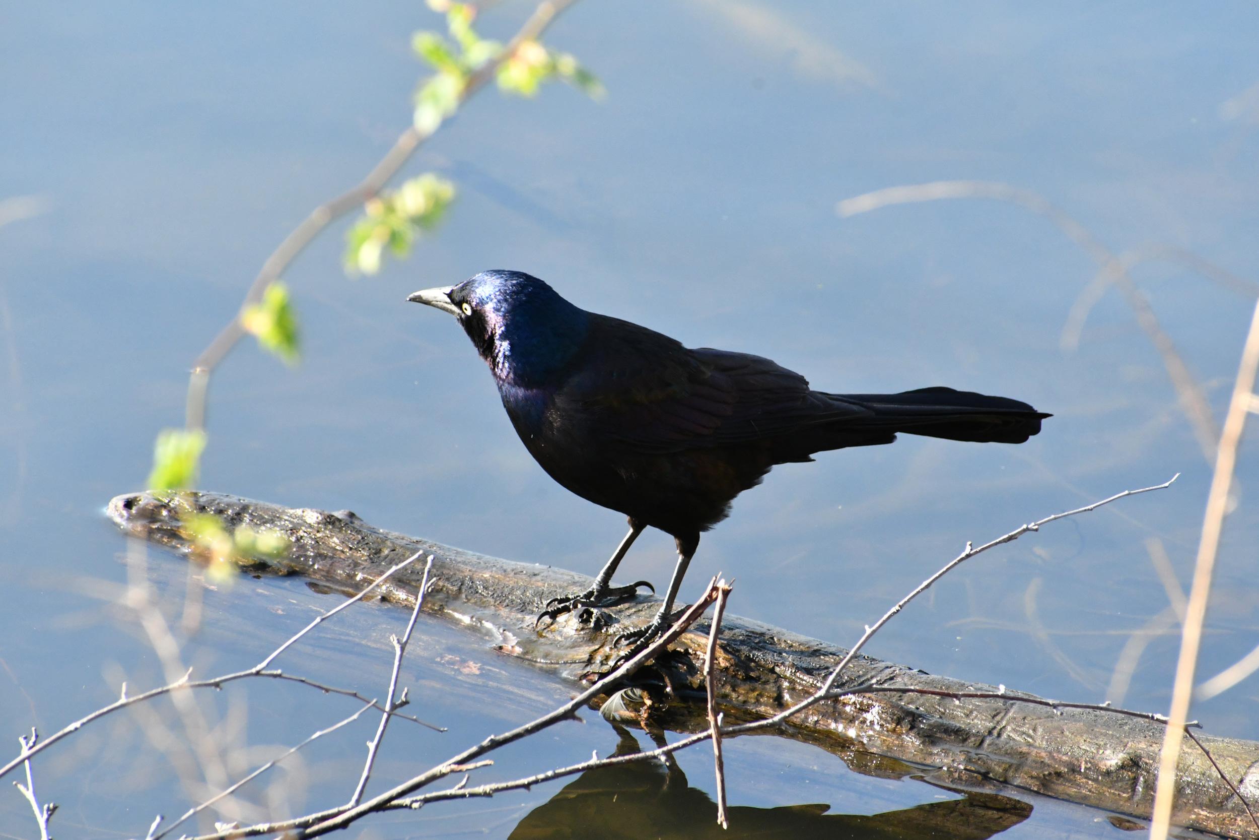 Crow, Prospect Park