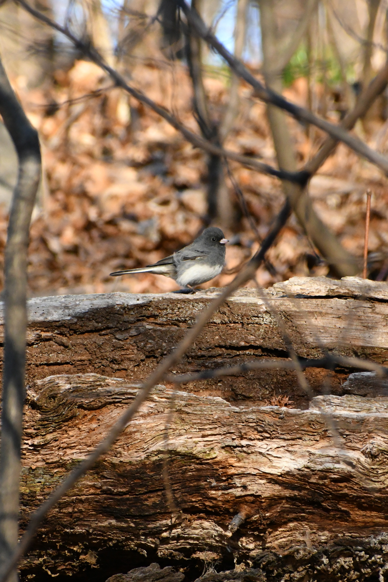 Dark-eyed junco, Prospect Park