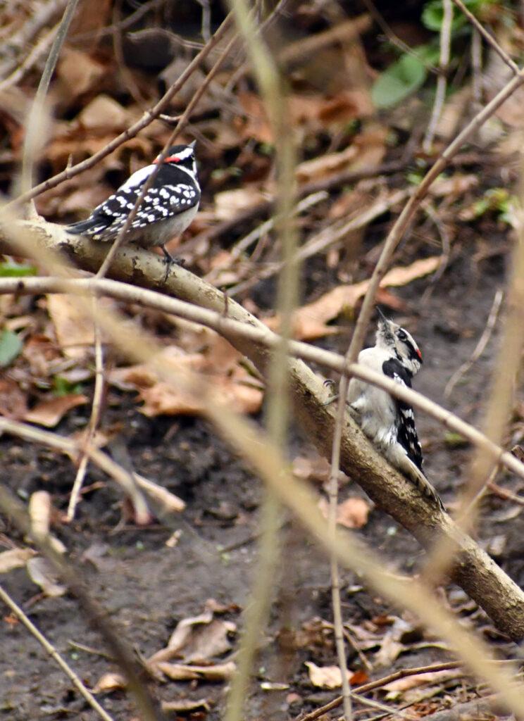 Downy woodpeckers, Prospect Park