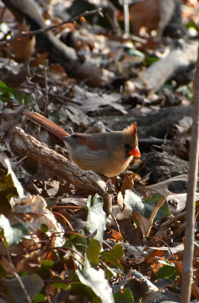 Female cardinal, Prospect Park
