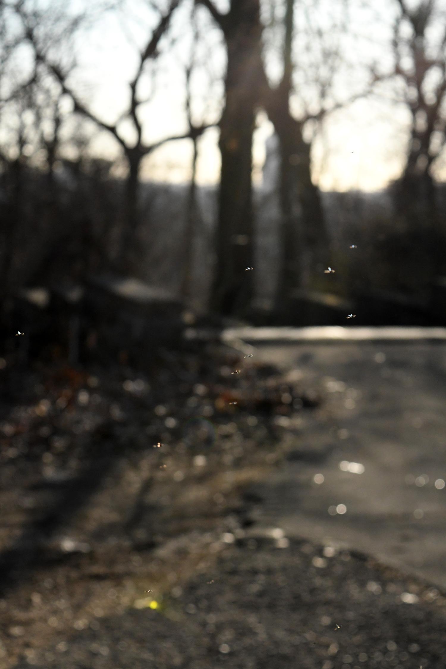 Gnats, Prospect Park