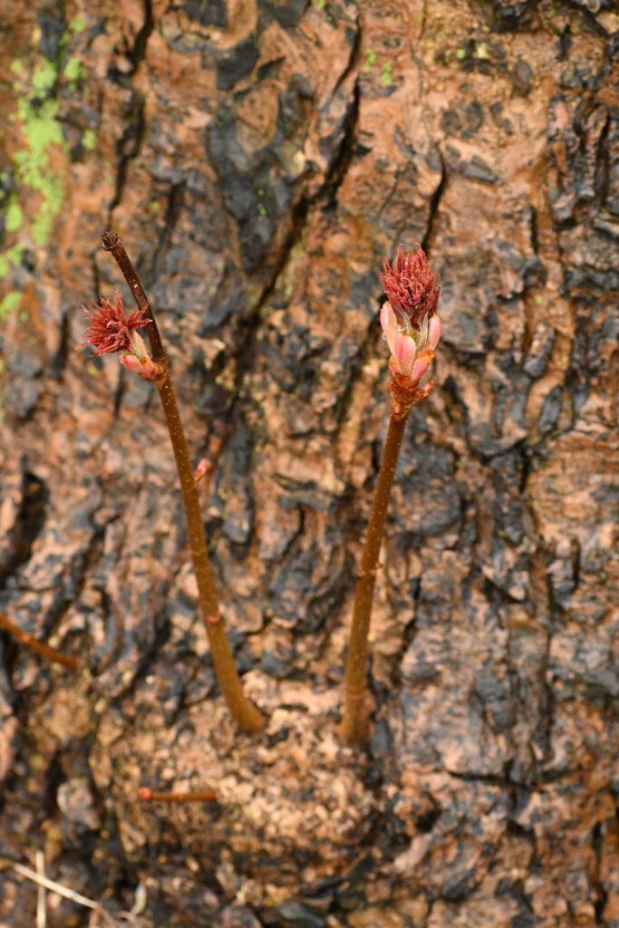 Common horse chestnut, Prospect Park