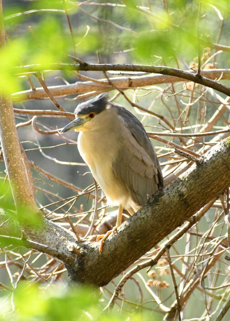 Black-crowned night heron, Prospect Park