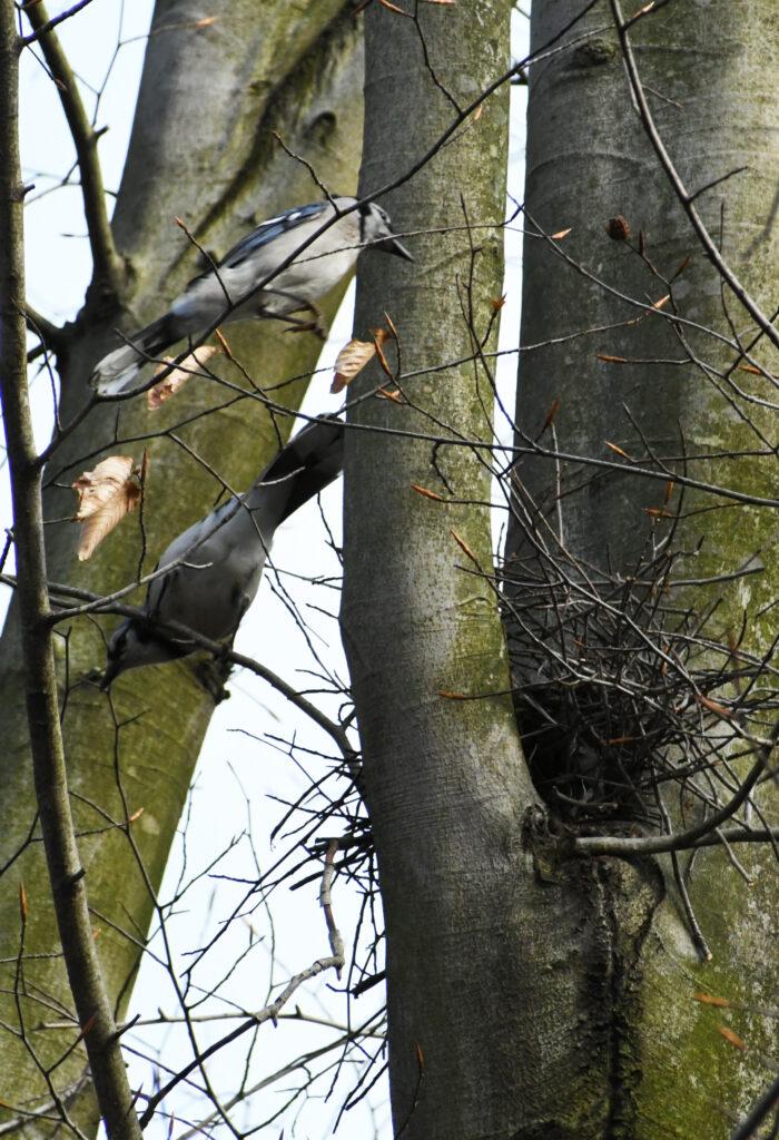 Blue jays, building a nest, Prospect Park