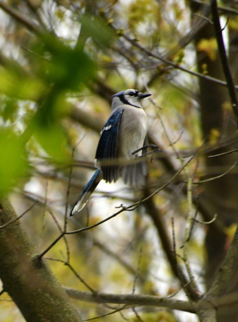 Bluejay, Prospect Park